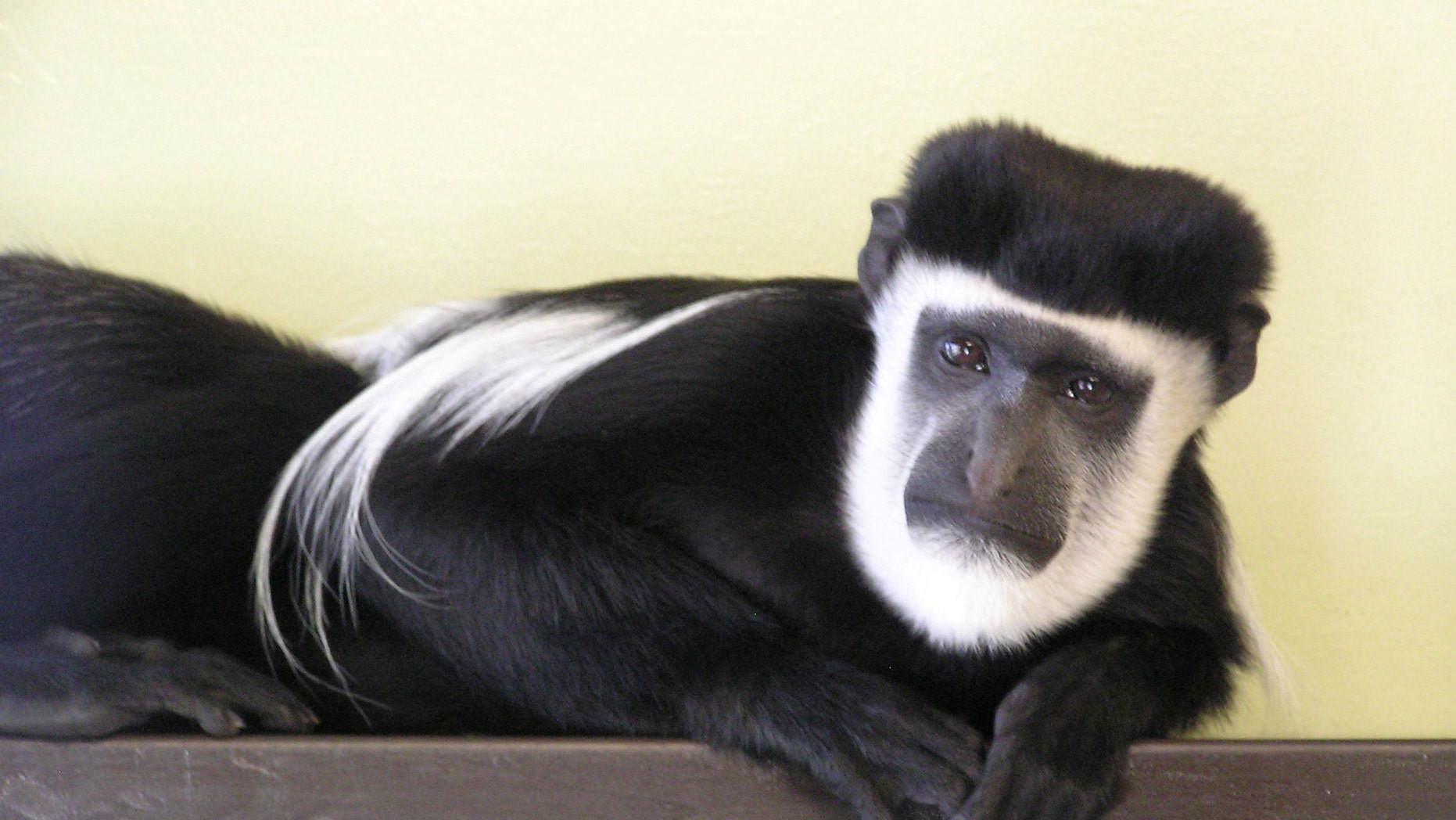 A handsome monkey has been entered into a lonely hearts column in a bid to find him a perfect match for Valentine's Day. Maarten the colobus monkey is looking for love in the form of an adopter and was entered into the lonely hearts column by his keepers. (Credit: SWNS)