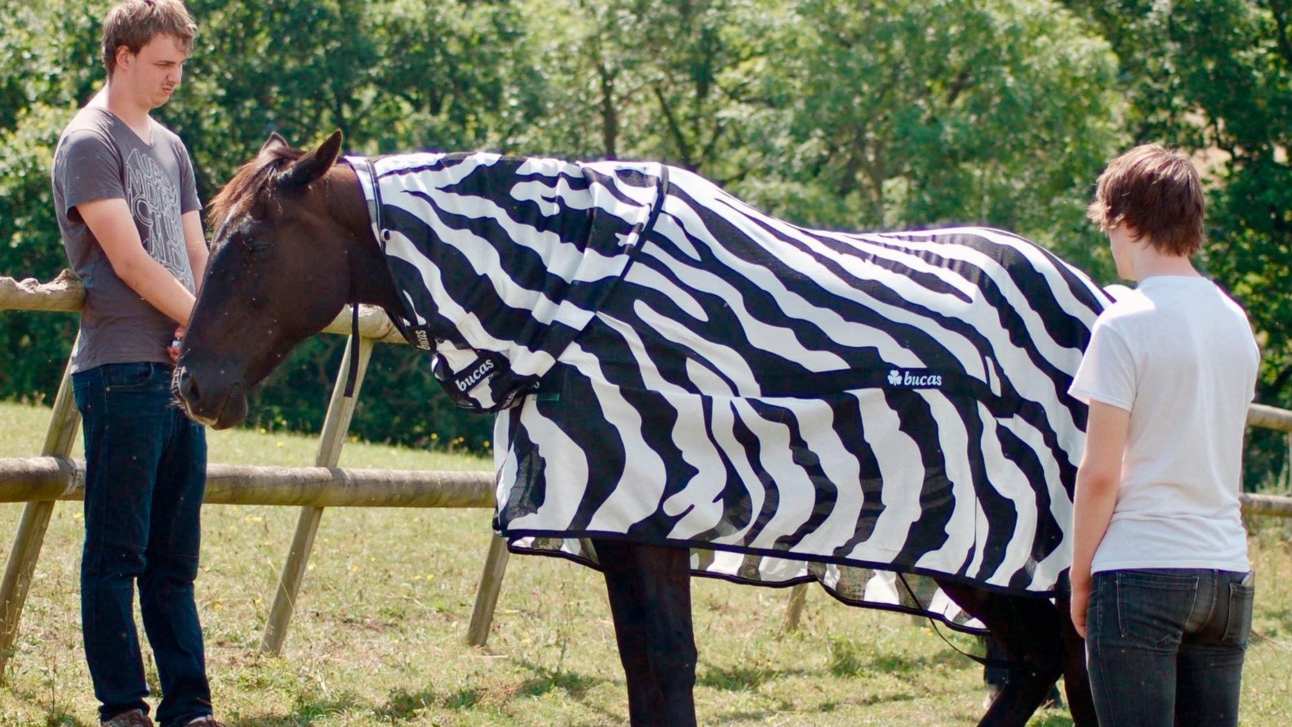 Scientists Dressed Horses Up Like Zebras to Determine the goal of Stripes