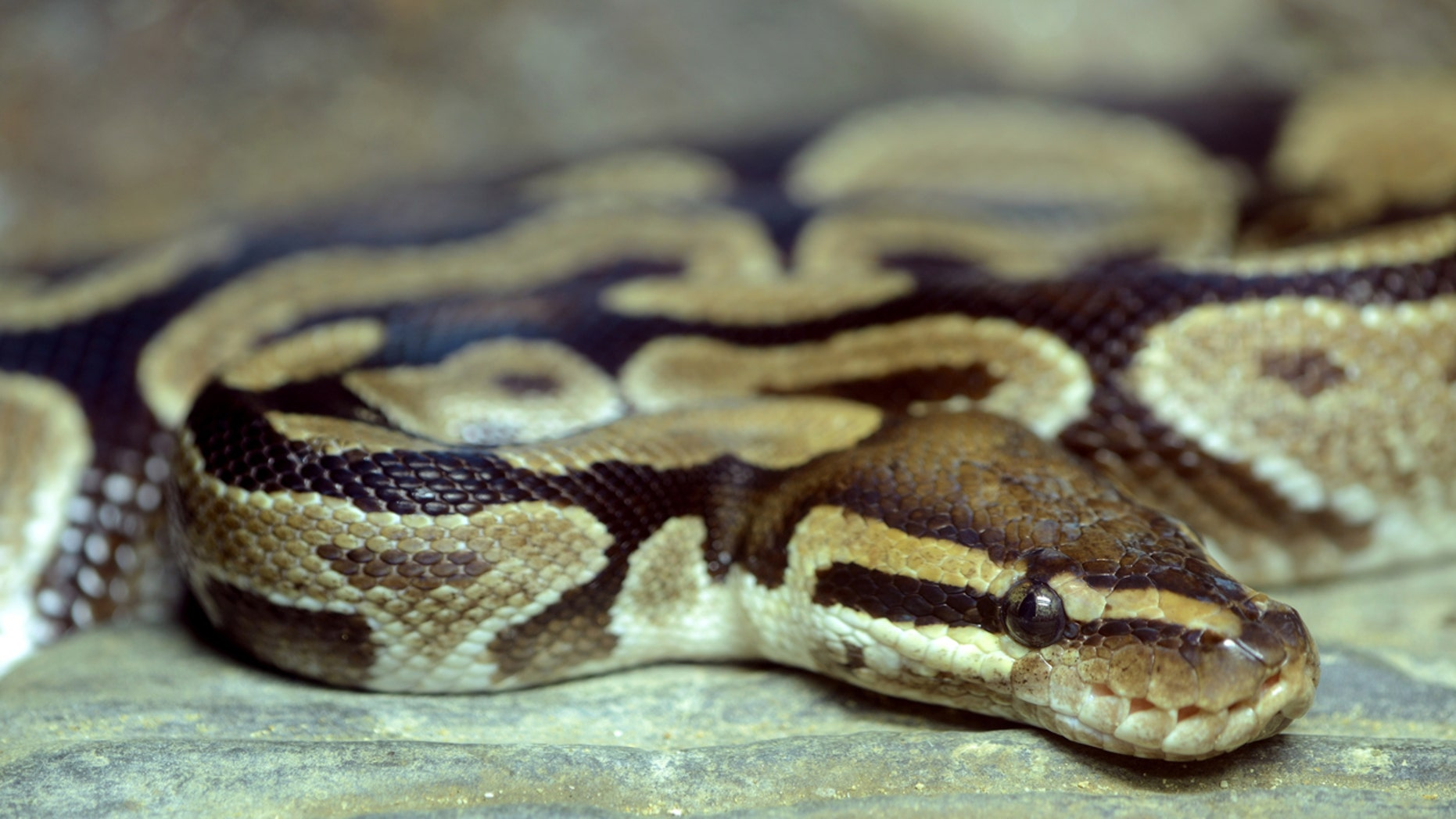 A python (not pictured) was found in a woman's shoe while she was unpacking her luggage after a vacation.