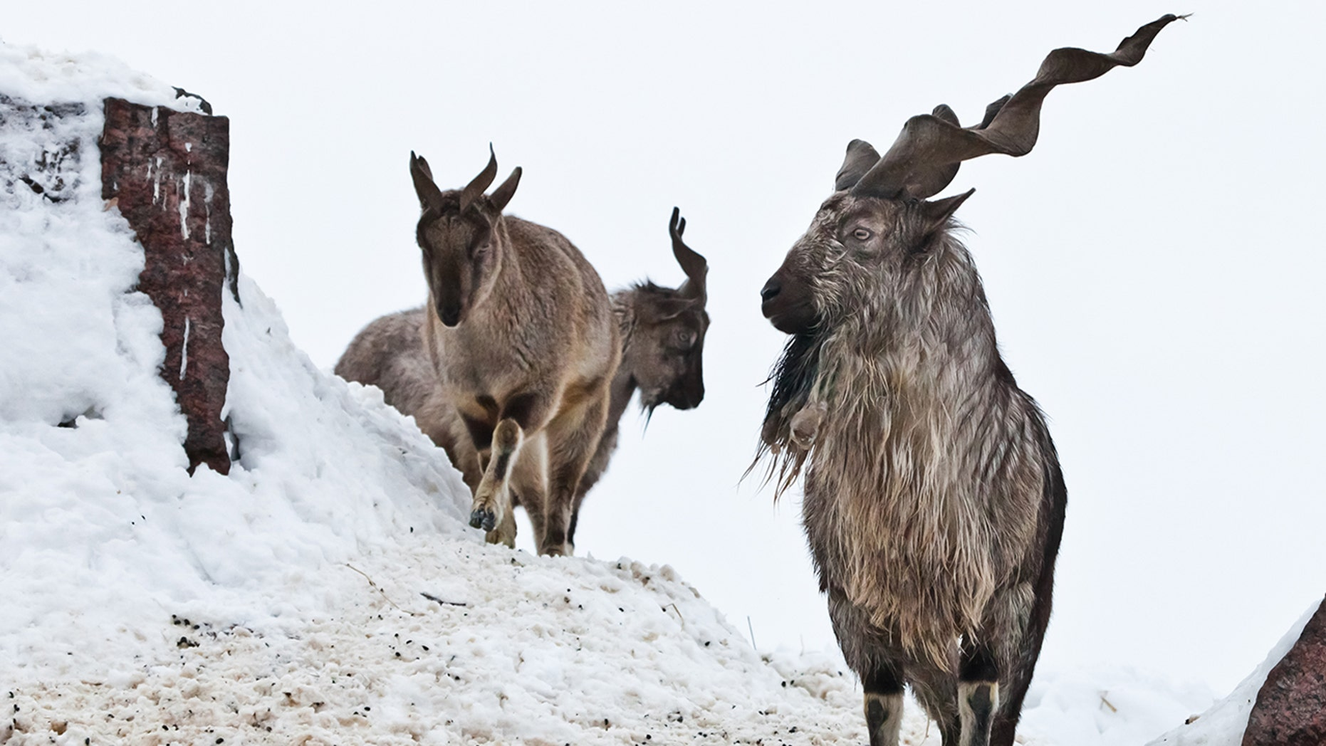 Mountain goat (Markhor) between snow and rock against white sky, big horns.