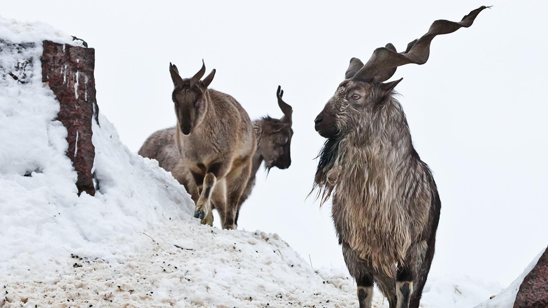 Cabras montesas (Markhor) entre la nieve y las salientes rocosas contra el cielo blanco, grandes cuernos.