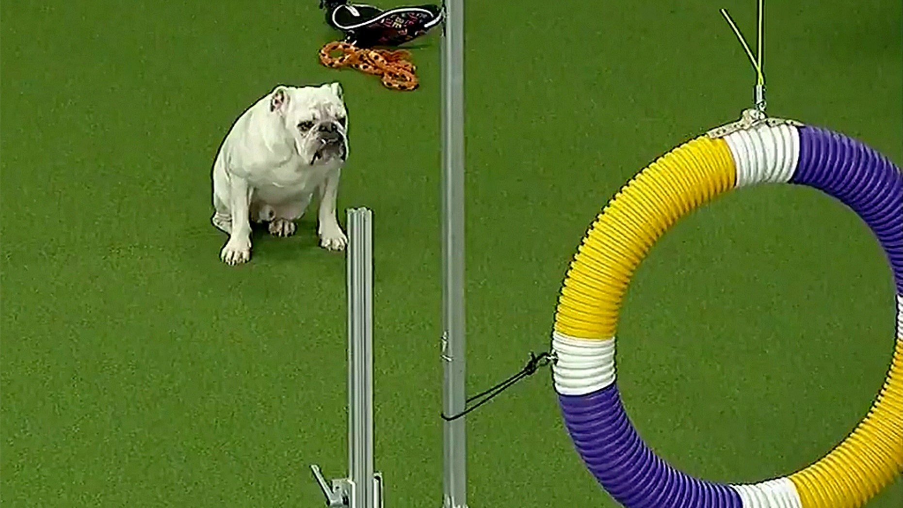 Rudy the bulldog. (Fox Sports)