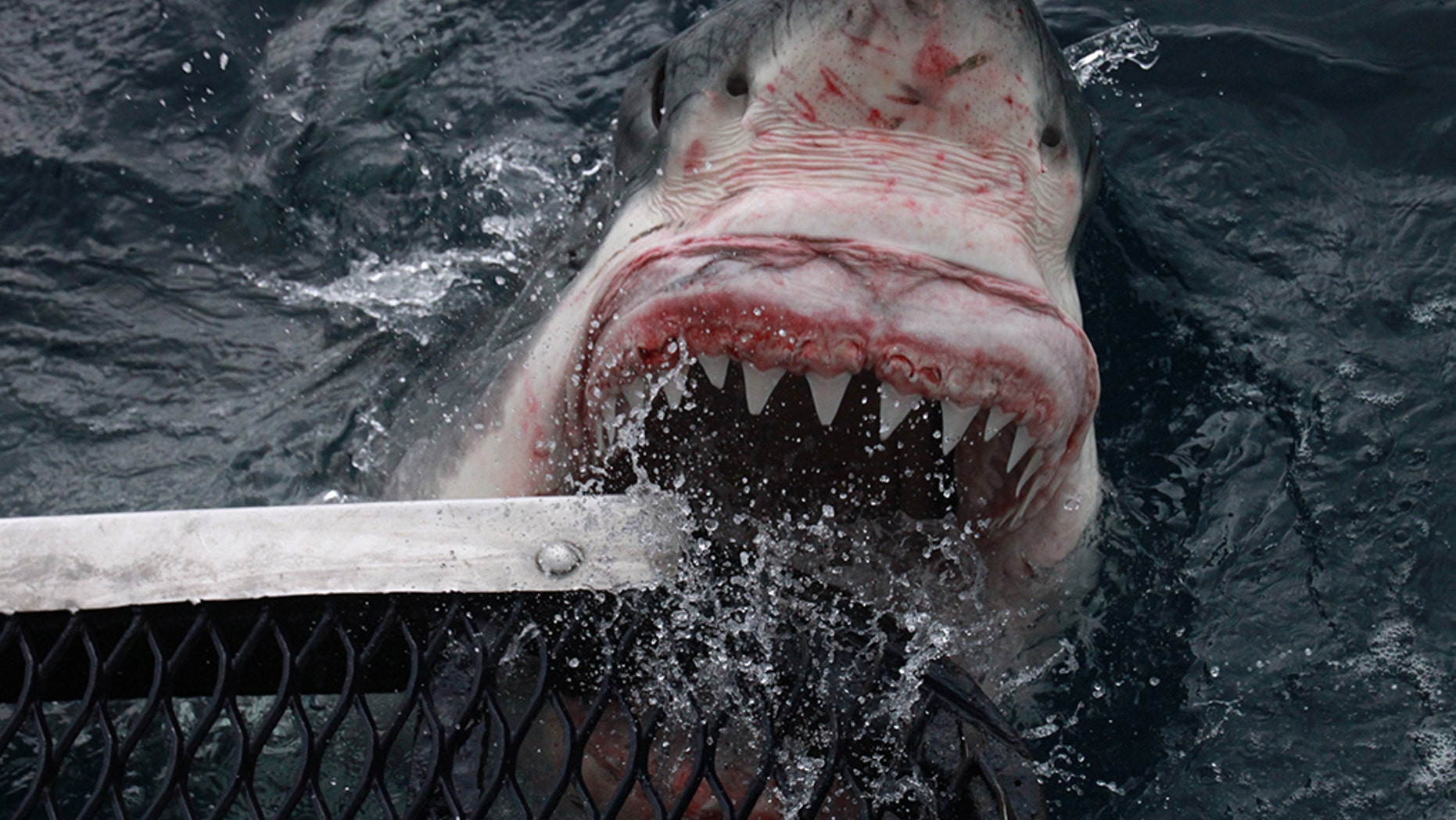 The shark lunges from the water to bite the cage. STUNNING pictures have captured the moment a huge great white shark came within inches of a photographer's hand as he tried to get the best shot. (Credit: Australscope/Media Drum World)