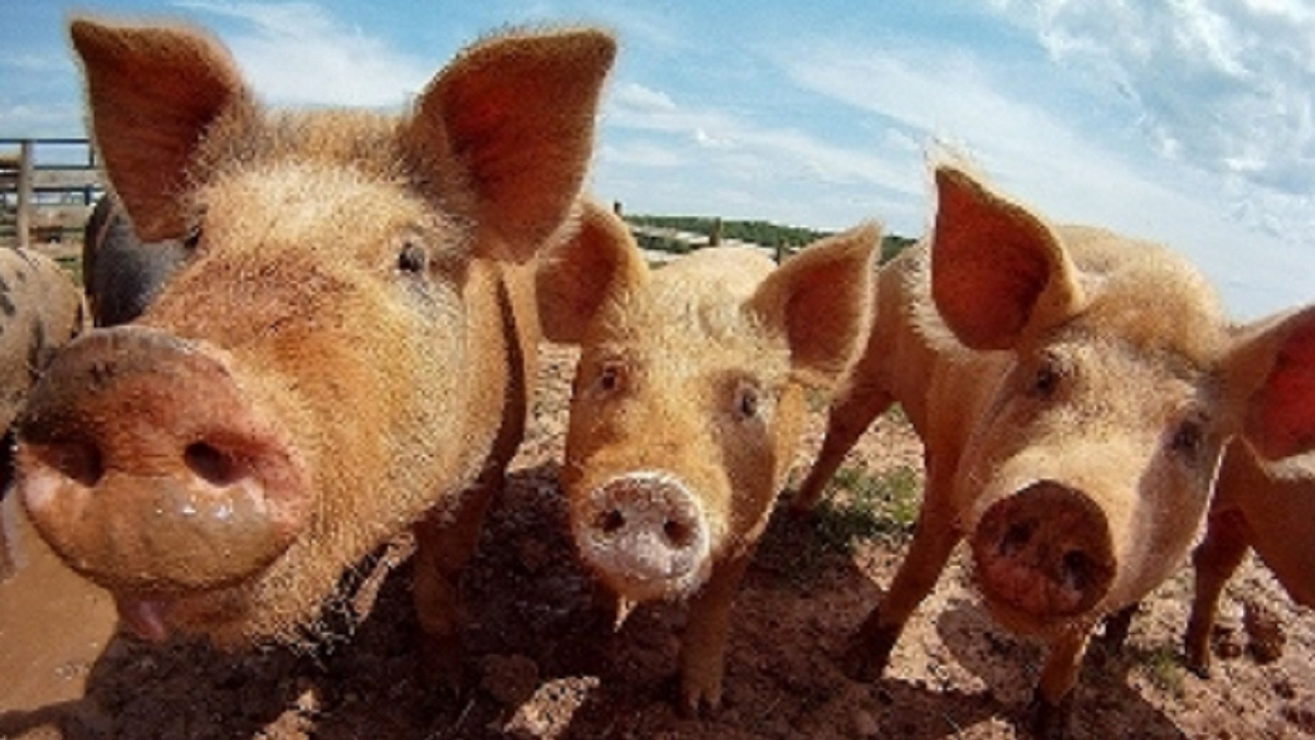 A Russian farmer was reportedly eaten by her pigs after she collapsed into the pen from an epileptic seizure.
