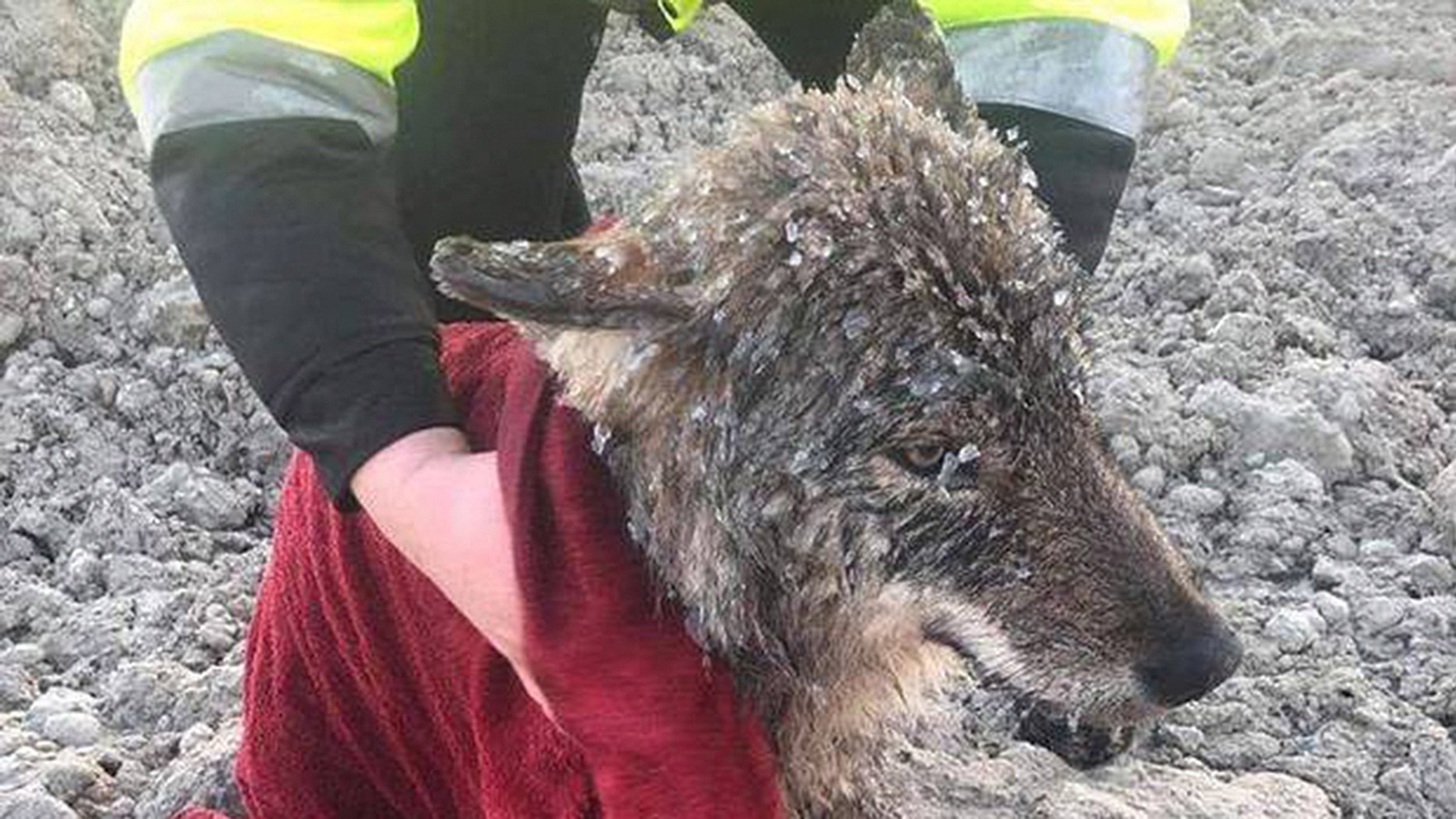 Dam workers in Estonia rescued what they thought was a dog stuck in icy waters on Wednesday, but it turned out to be a very friendly wolf