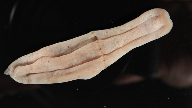 """""""Xenoturbella is a genus of very simple animal with bilateral symmetry that grows up to a few centimeters long,""""the Schmidt Ocean Institute describes."""