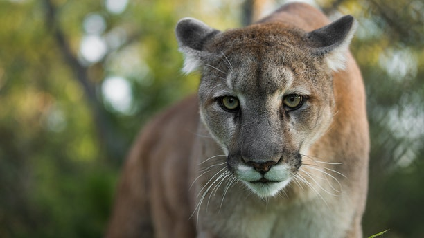 The two Florida panthers were found dead just days apart.