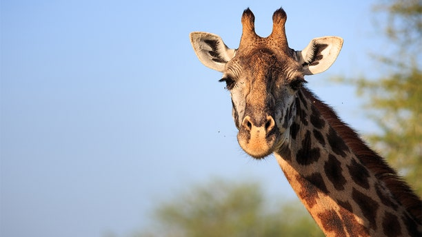 File image of a giraffe. The Kansas City Zoo's giraffe, Hamisi, died last week.