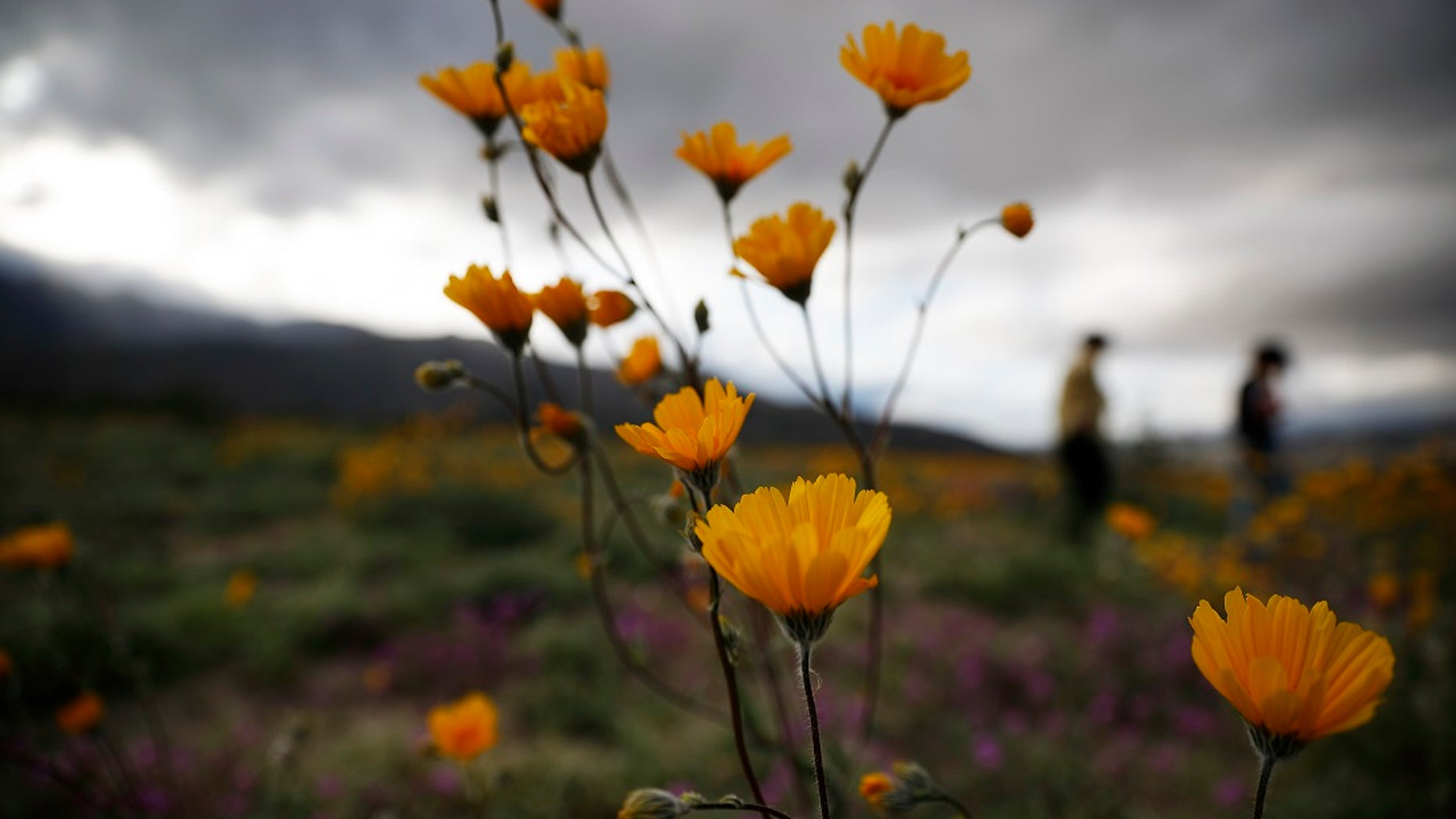 "In this Wednesday, March 6, 2019, photo, people walk among wildflowers in bloom near Borrego Springs, Calif. Two years after steady rains sparked seeds dormant for decades under the desert floor to burst open and produce a spectacular display dubbed the ""super bloom,"" another winter soaking this year is shaping up to be possibly even better. (AP Photo/Gregory Bull)"