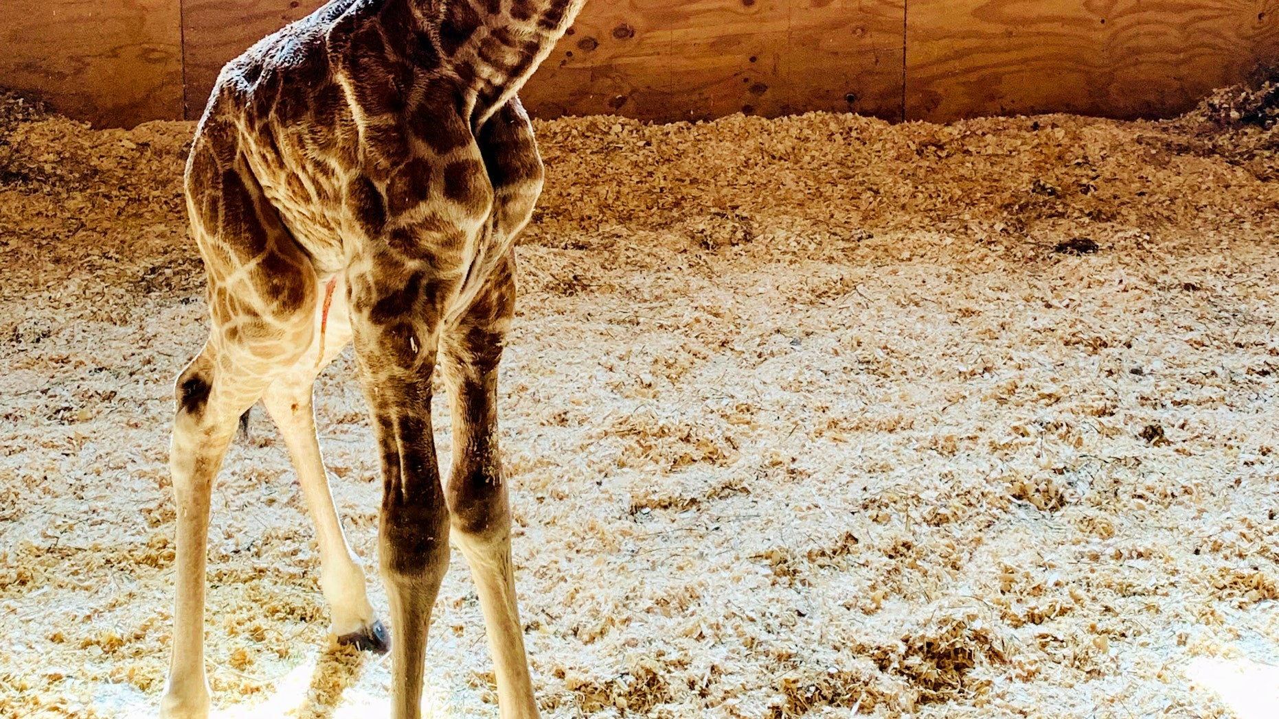 Apr fans of the Giraffe may be rejoicing because the known beast welcomes a baby boy on Saturday, park officials say.