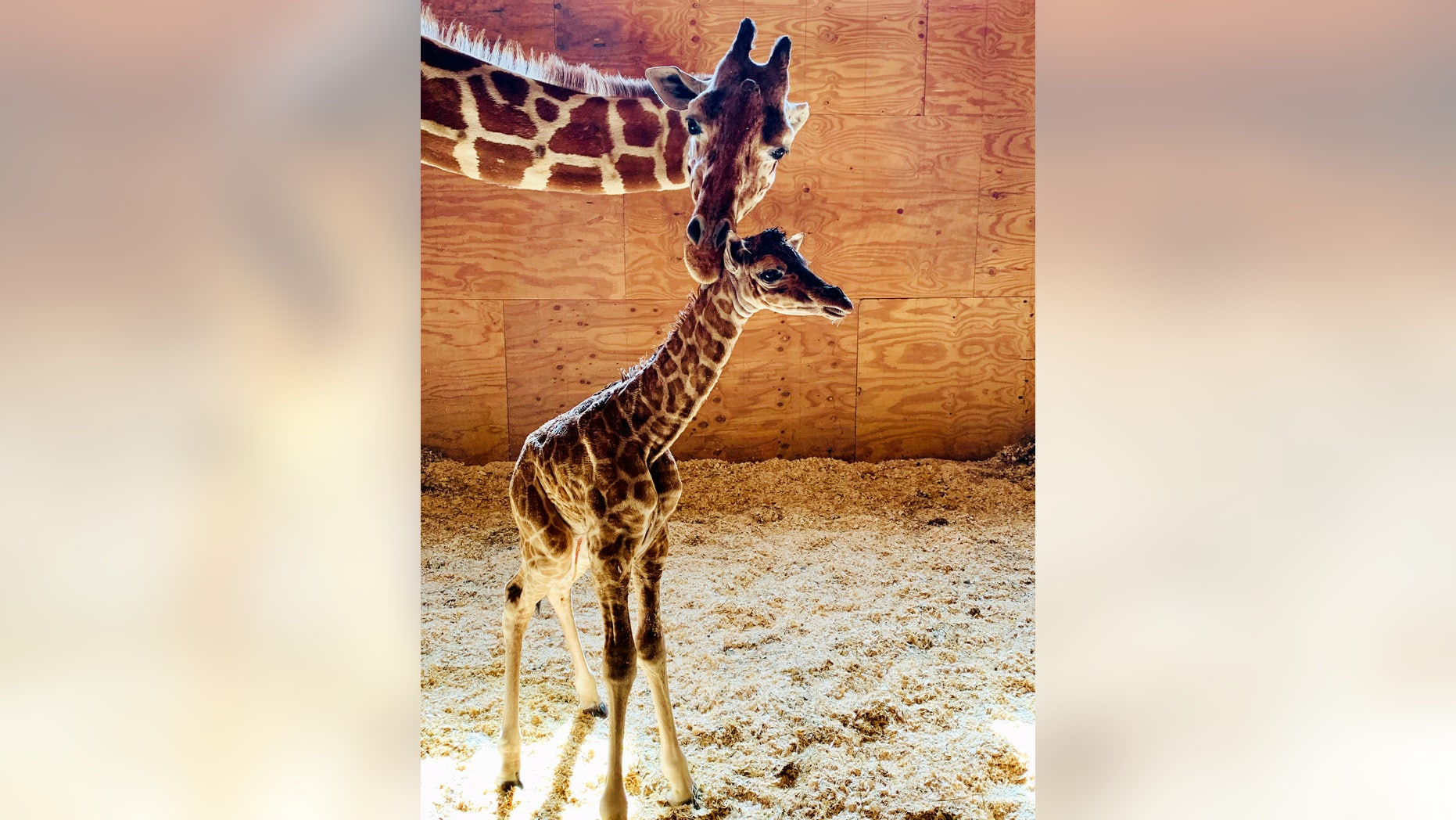 Fans of April the Giraffe are pleased to see the well-known animal greet a baby on Saturday, Park officials said.