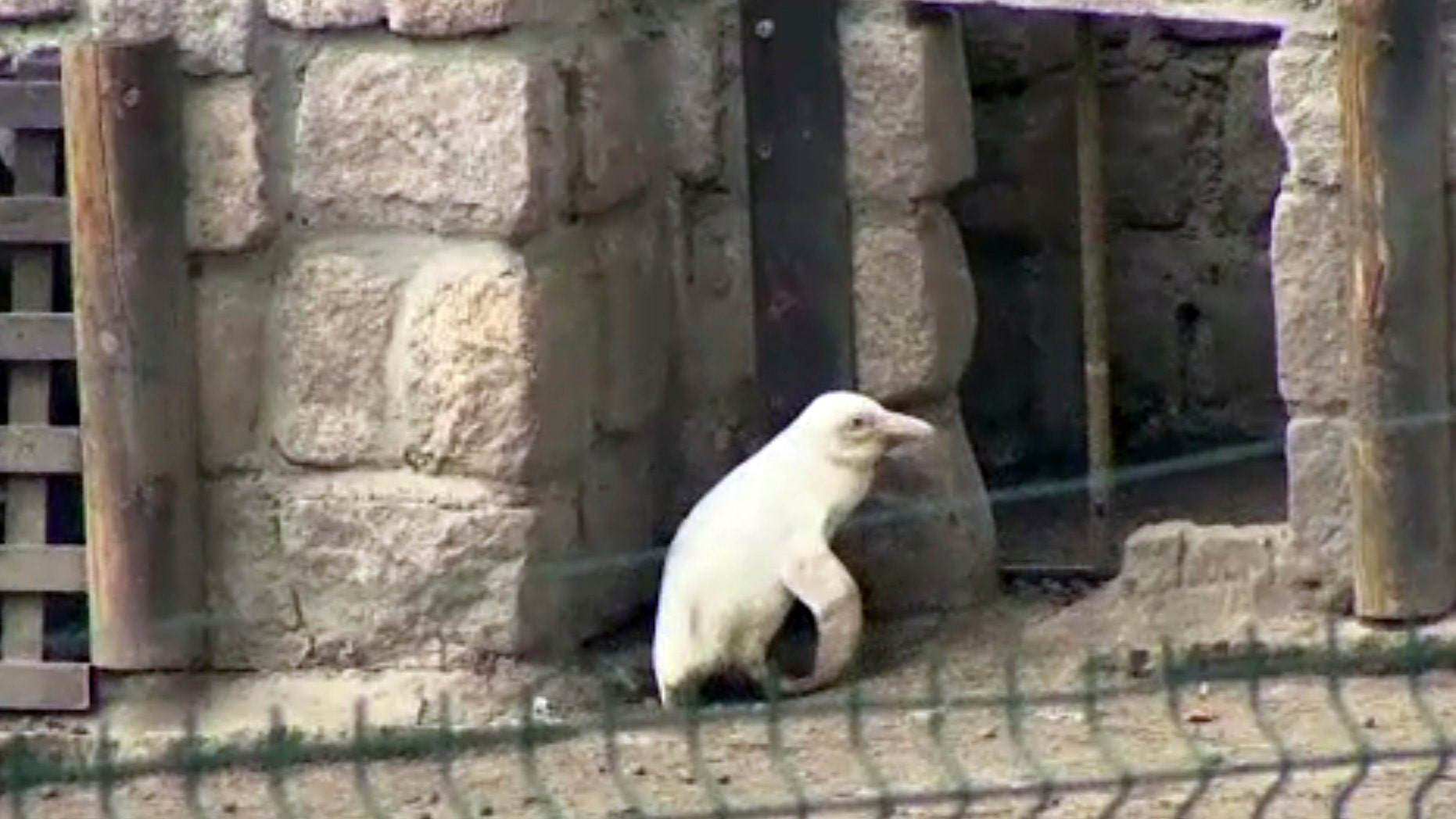 In this image made from video, an albino penguin is seen along in its enclosure in Gdansk zoo, Gdansk, Poland, Friday, March 22, 2019.