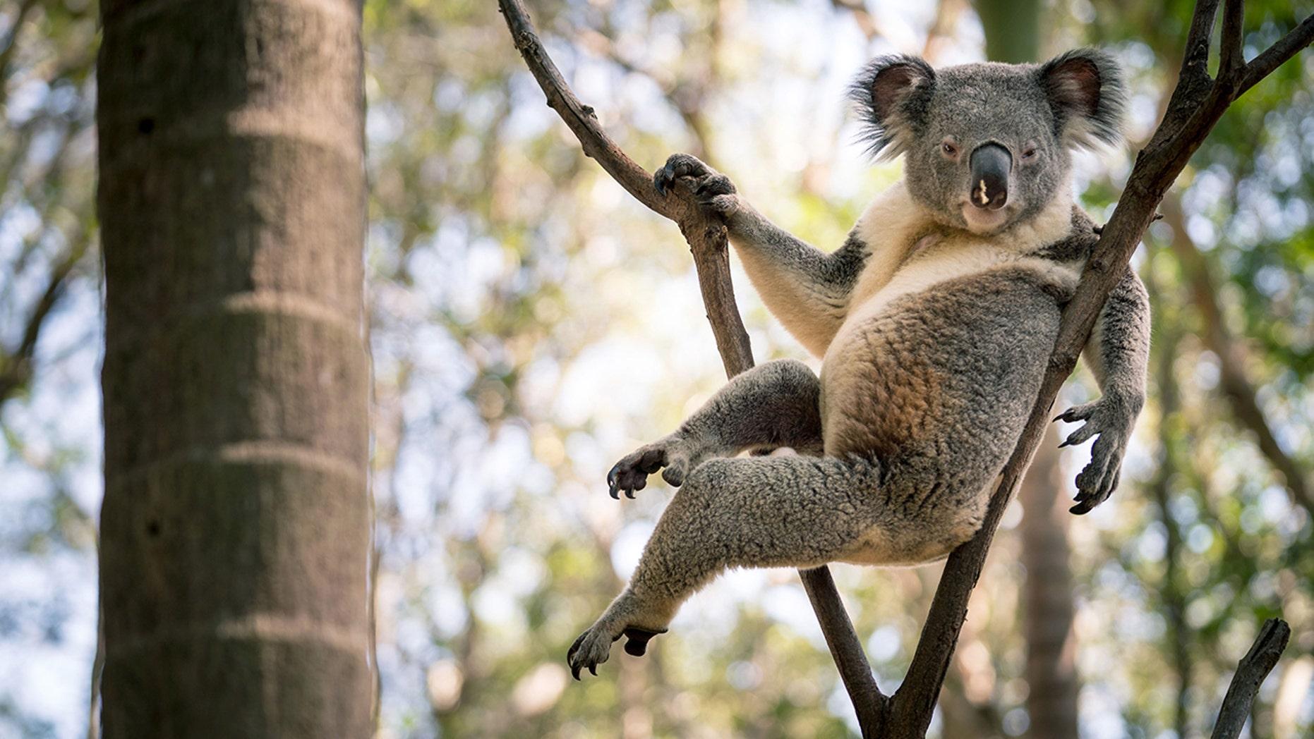 Rogue the koala became an internet sensation after striking a seductive pose.