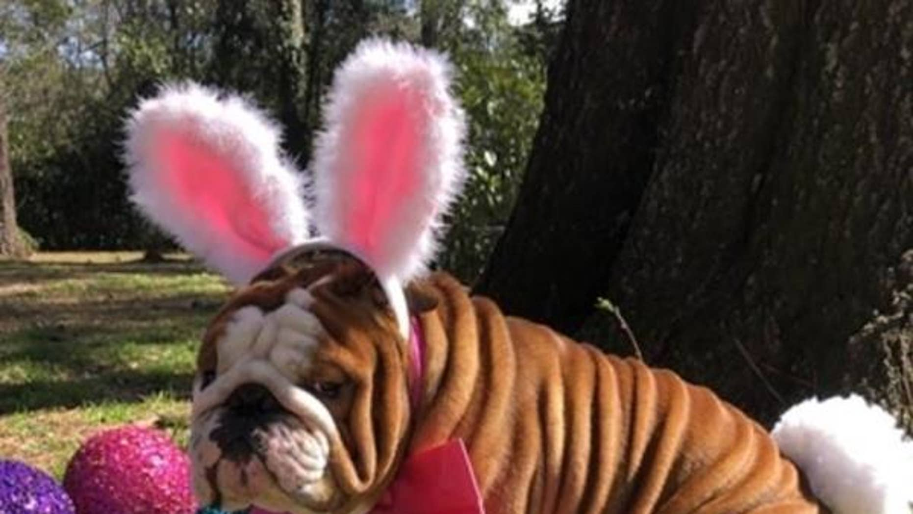 "Henri the bulldog, from North Carolina, won the candy company's first ""Bunny Tryouts"" competition."