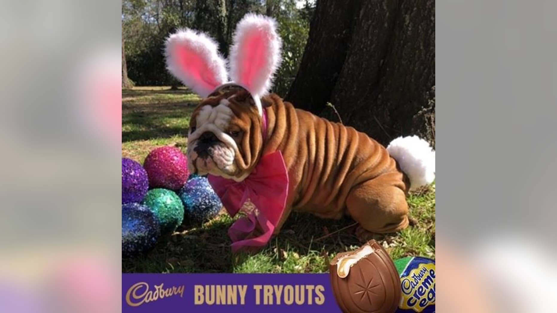 """Henri the bulldog, from North Carolina, won the candy company's first """"Bunny Tryouts"""" competition."""