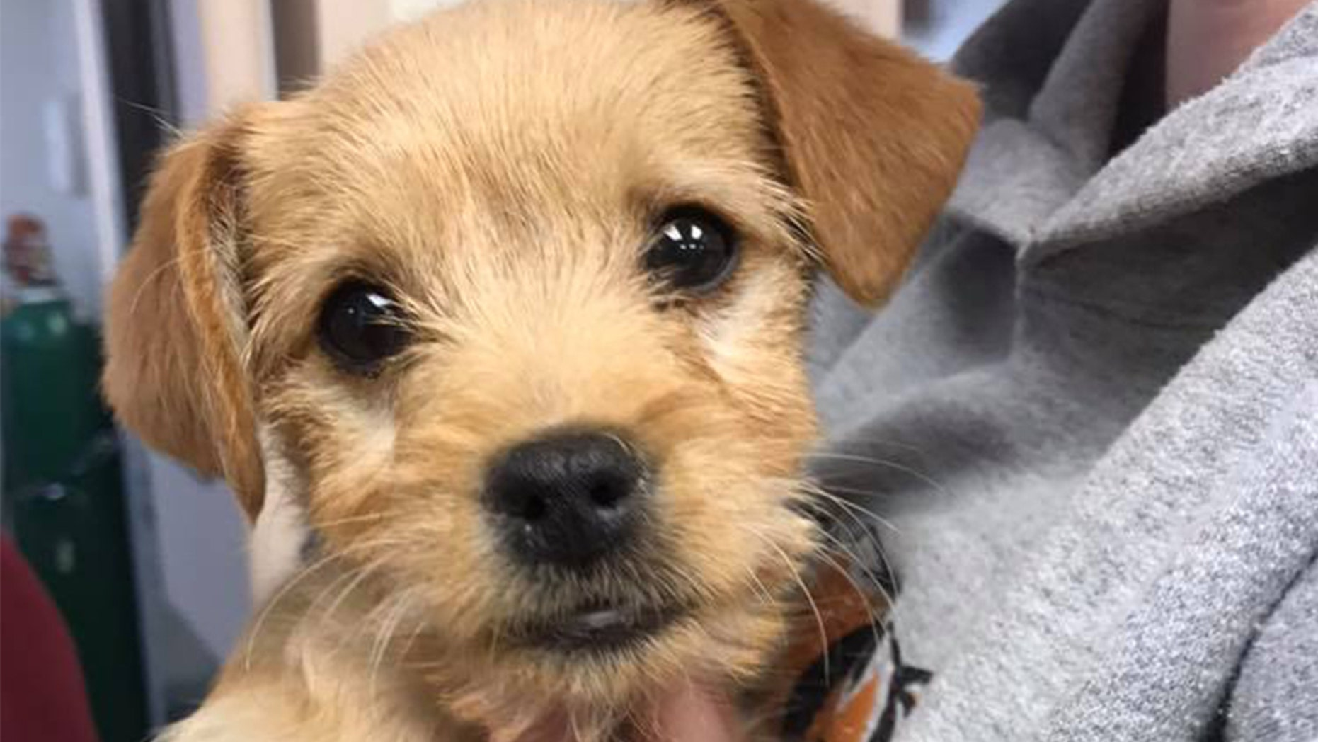 This 6-pound puppy died after he ingested almost 50 short ribs, a California animal shelter said.
