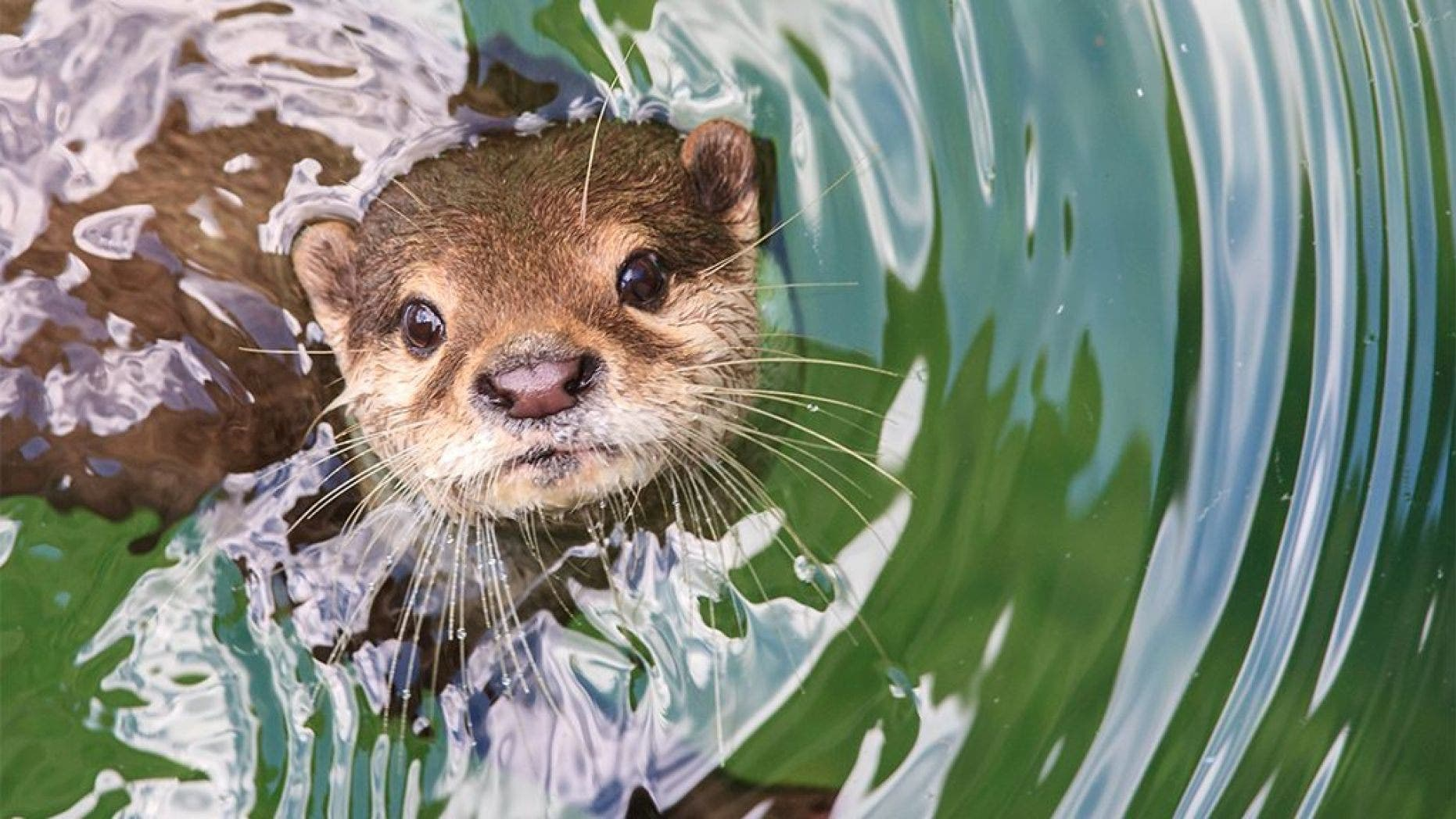 Authorities are investigating the disappearance of three rare river otters from an animal sanctuary.