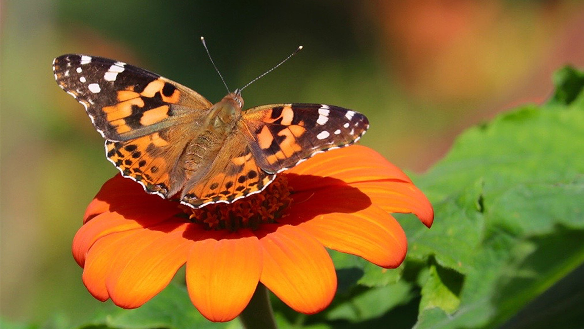 A painted lady butterfly. (iStock)