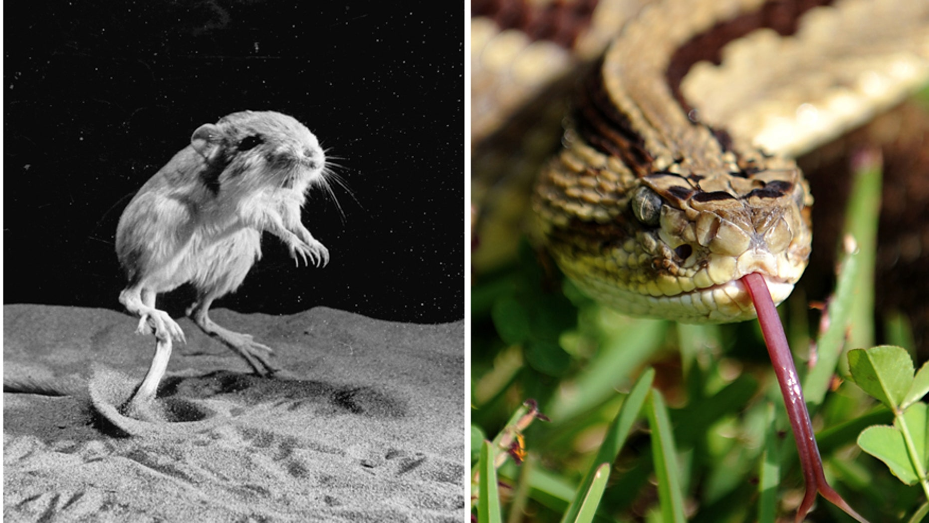 Images - Kangaroo rat in the middle jump / A poisonous neotropical rattlesnake (Crotalus simus)