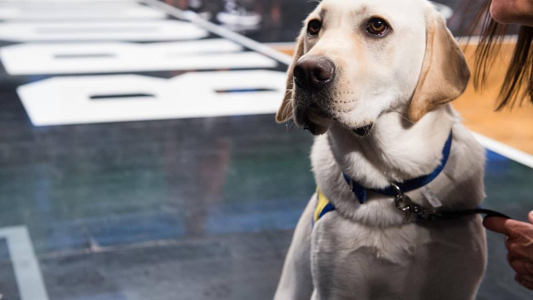 Spike's future partner could be a big sports fan, so it's important for the service-dog-in-training to get used to the crowds and loud atmosphere.