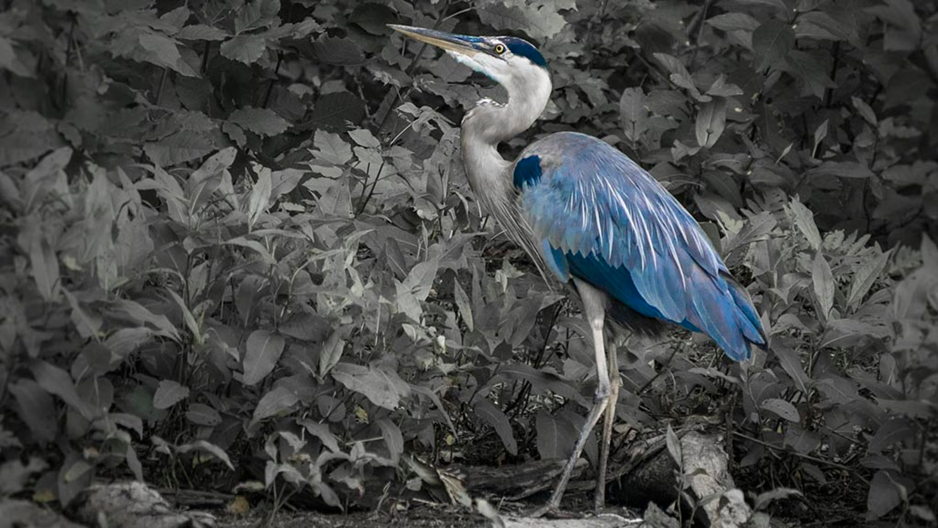 Does Central Park's Mandarin duck have competition with a Great Blue Heron?