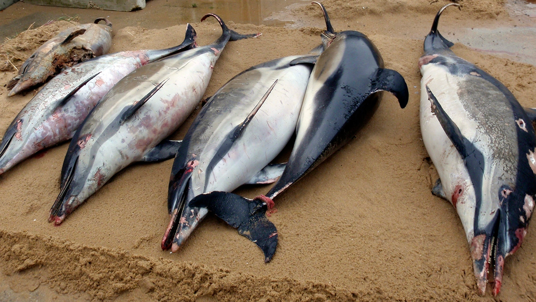 This photo from March depicts dead dolphins on a bank of La Tranche sur Mer on the Atlantic coast in western France.
