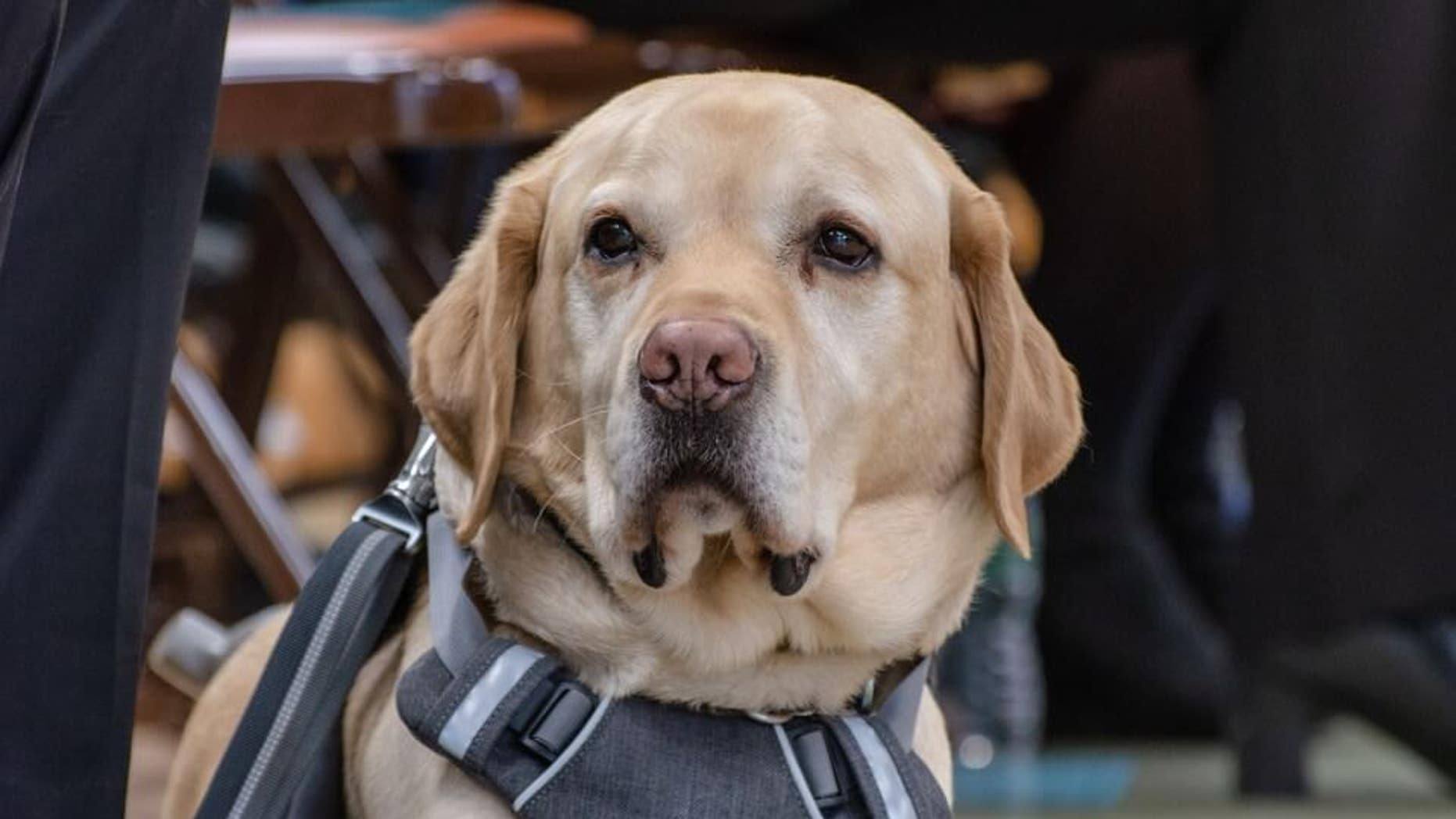 Gus, seen here, will run the NYC Half Marathon alongside Tom Panek, the CEO of Guiding Eyes for the Blind