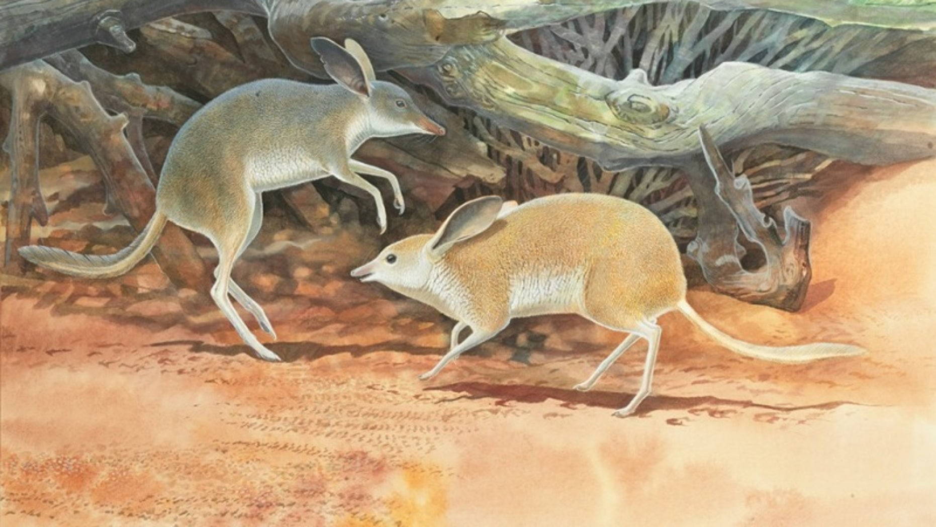 Two <em>Chaeropus yirratji</em>, a newly-described species of pig-footed bandicoot, pitter-pattered around Australia on their asymmetrical legs.