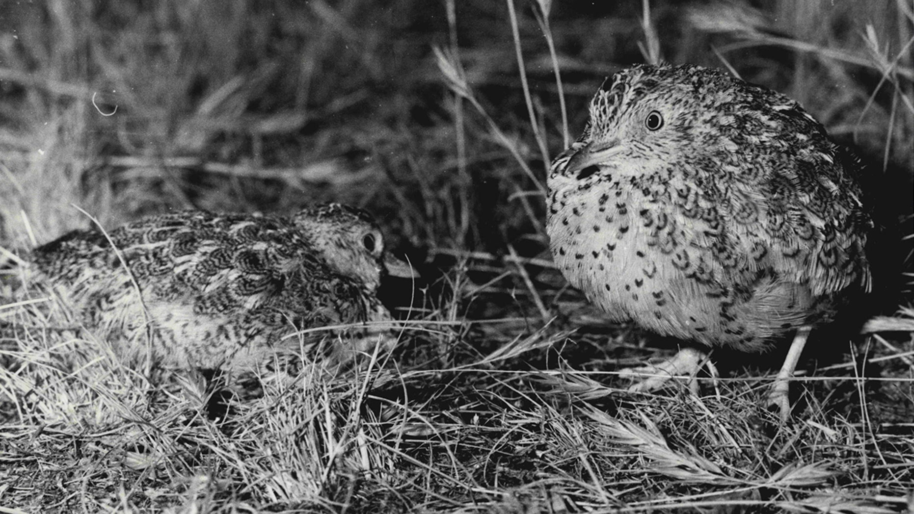 """File photo - John Nevinson on his property called """"The Ranch"""" between Hay and Deniliquin with the bird """"Plains-wanderer"""". January 17, 1985. (Photo by Susan Debra Windmiller/Fairfax Media via Getty Images)."""