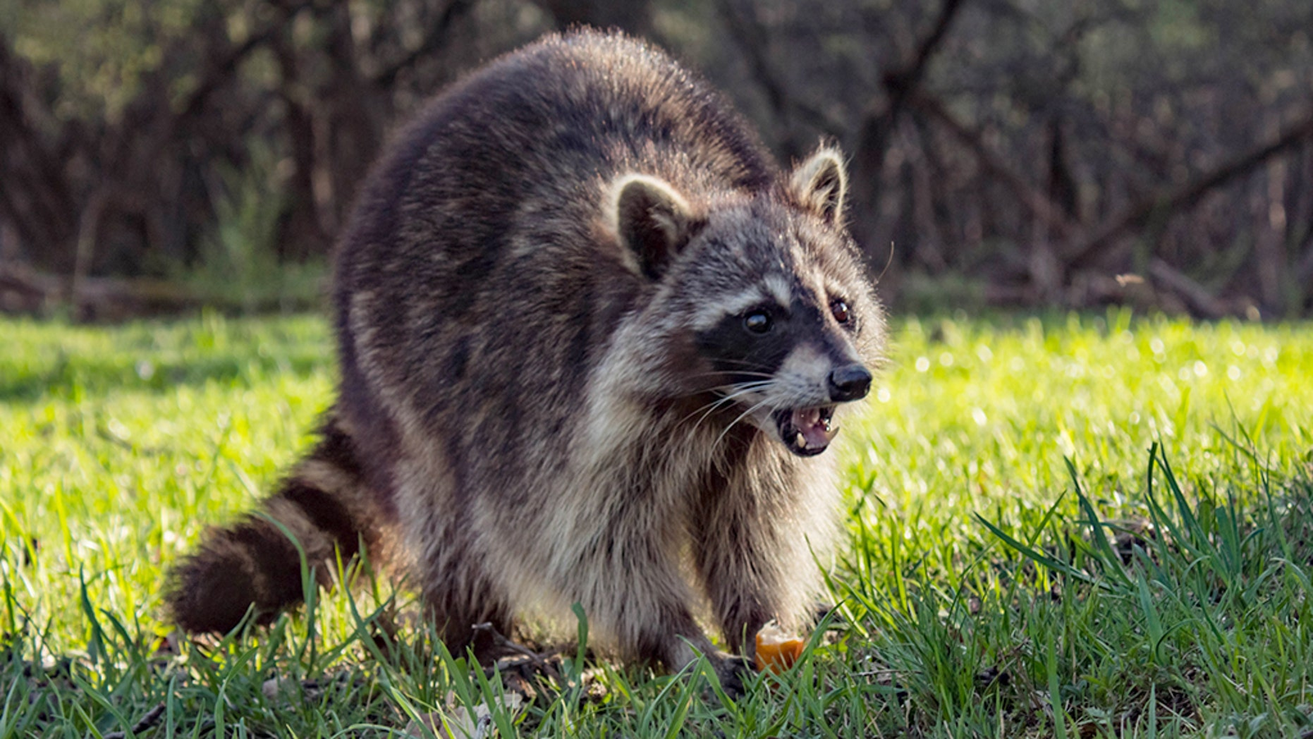 """Four rabid raccoons have been found """"in and around"""" Inwood Hill Park since January, health officials said."""
