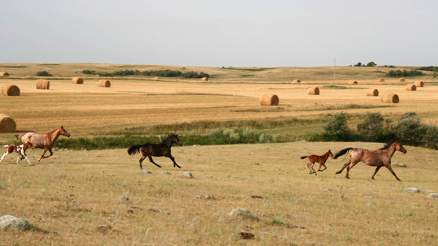 The US government offers an incentive of $ 1,000 for those who wish to adopt untrained wild horses or burros.