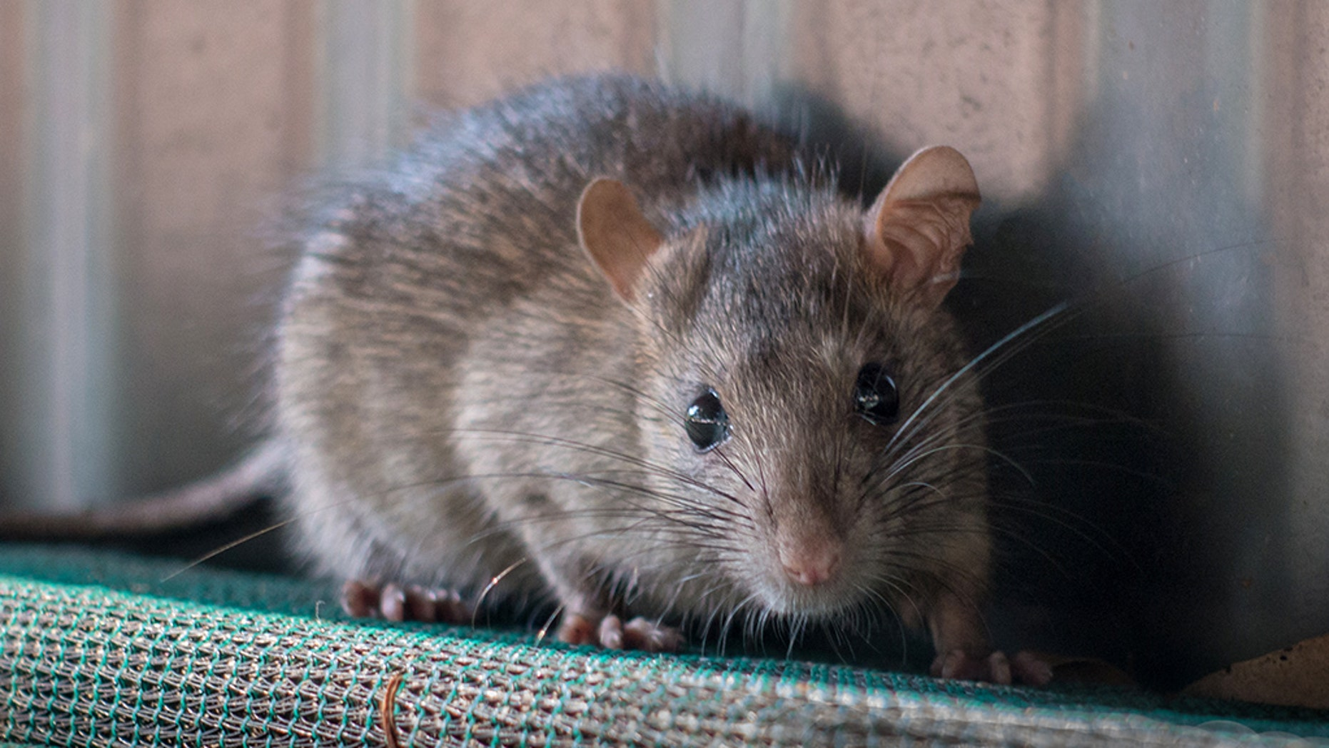 "Scientists may have discovered a way to ""reverse"" alcoholism in rats."