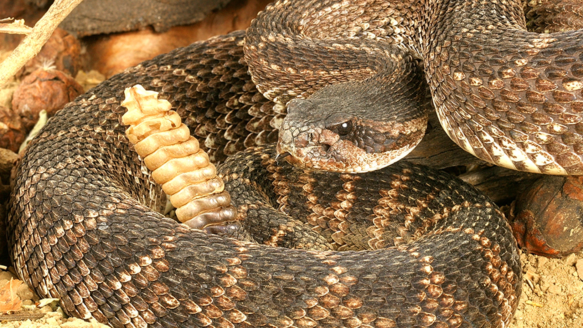 A Texas resident found dozens of rattlesnakes underneath his home.