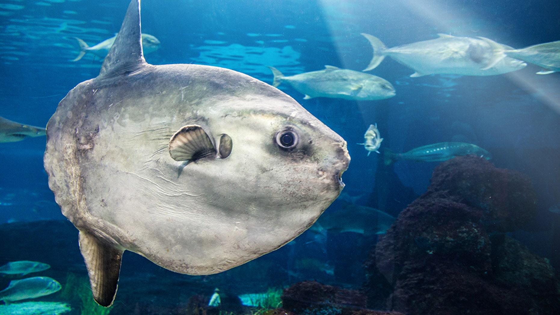 A closeup of a Mola Mola (Ocean Sunfish).