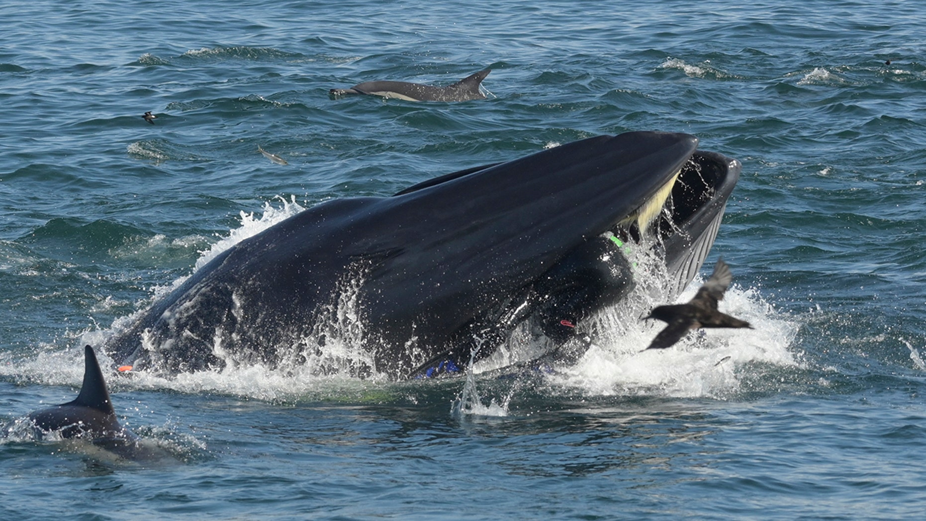 Rainer Schimpf can be seen in the mouth of the Bryde's Whale in Port Elizabeth, South Africa in February.