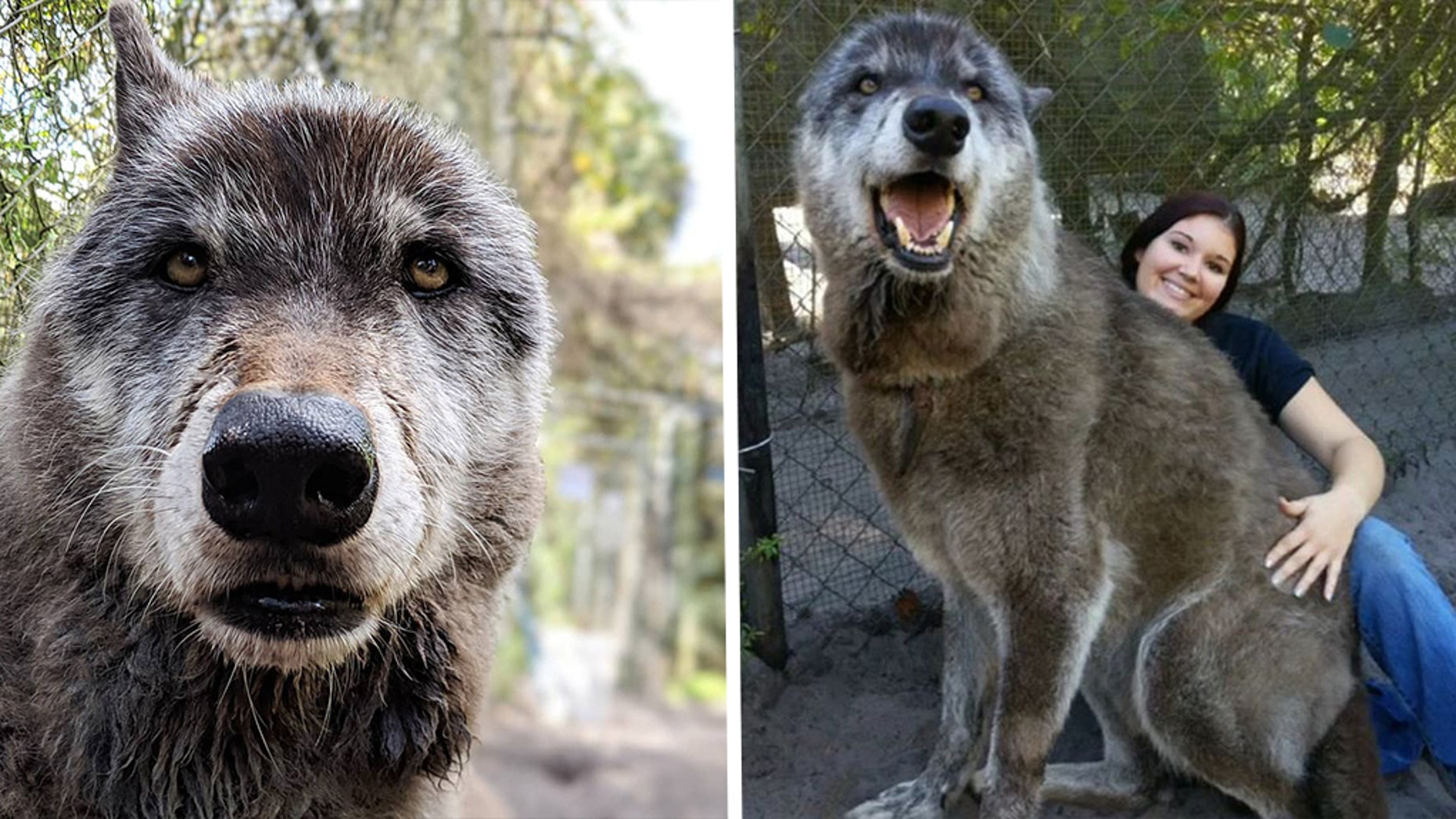 Yuki, a wolfdog hybrid, was rescued by the Shy Wolf Sanctuary in 2008.