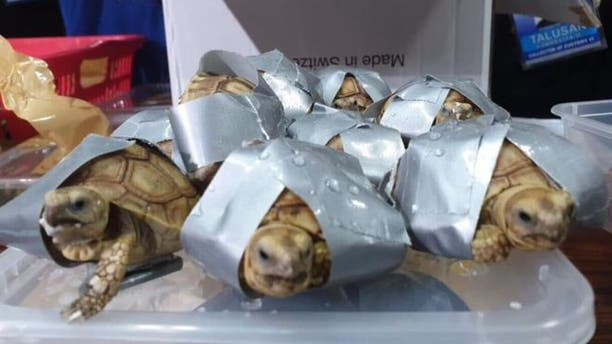 Some of the turtles had also been found wrapped in duct tape, packed within plastic bins.