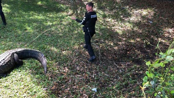 Officials with the Jupiter Police Department in Jupiter, Fla., had to remove a massive, roughly 750-pound alligator from a local park this week.