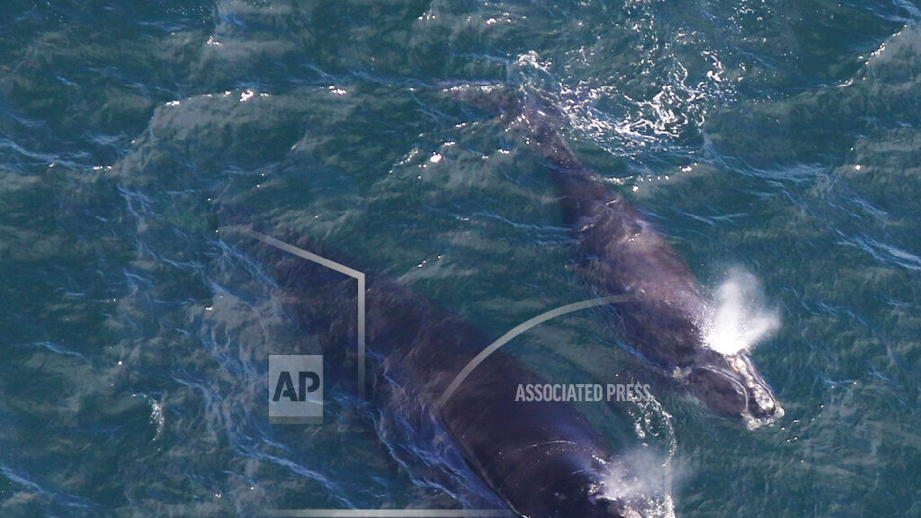 In this photo taken Thursday by the Center for Coastal Studies, a baby whale swims with her mother in Cape Cod Bay, off Massachusetts. Researchers say they have recently located three right whale calves in the bay, after finding none in 2018. Whales are among the rarest in the world. (Amy James / Coastal Studies Center / Perm. 19315-1 via NOAA AP)