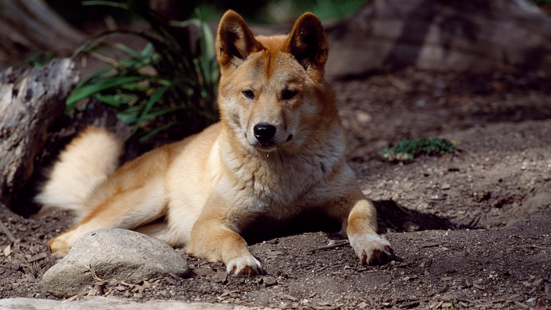 A man on a remote island off the coast of Australia rescued his infant son from the jaws of a dingo. (Photo by DeAgostini/Getty Images)