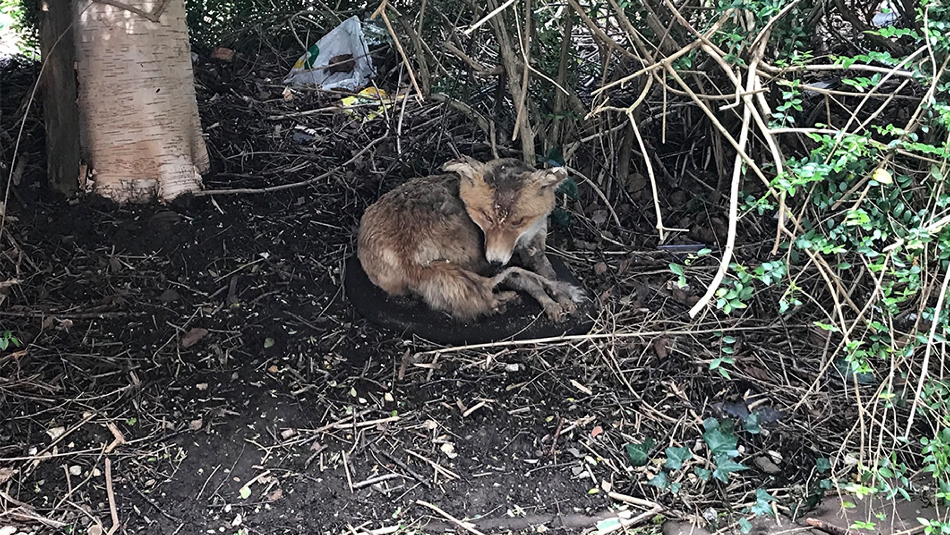 """This """"sick"""" fox found in a neighborhood in Devon, England concerned locals, who asked animal rescuers for help."""
