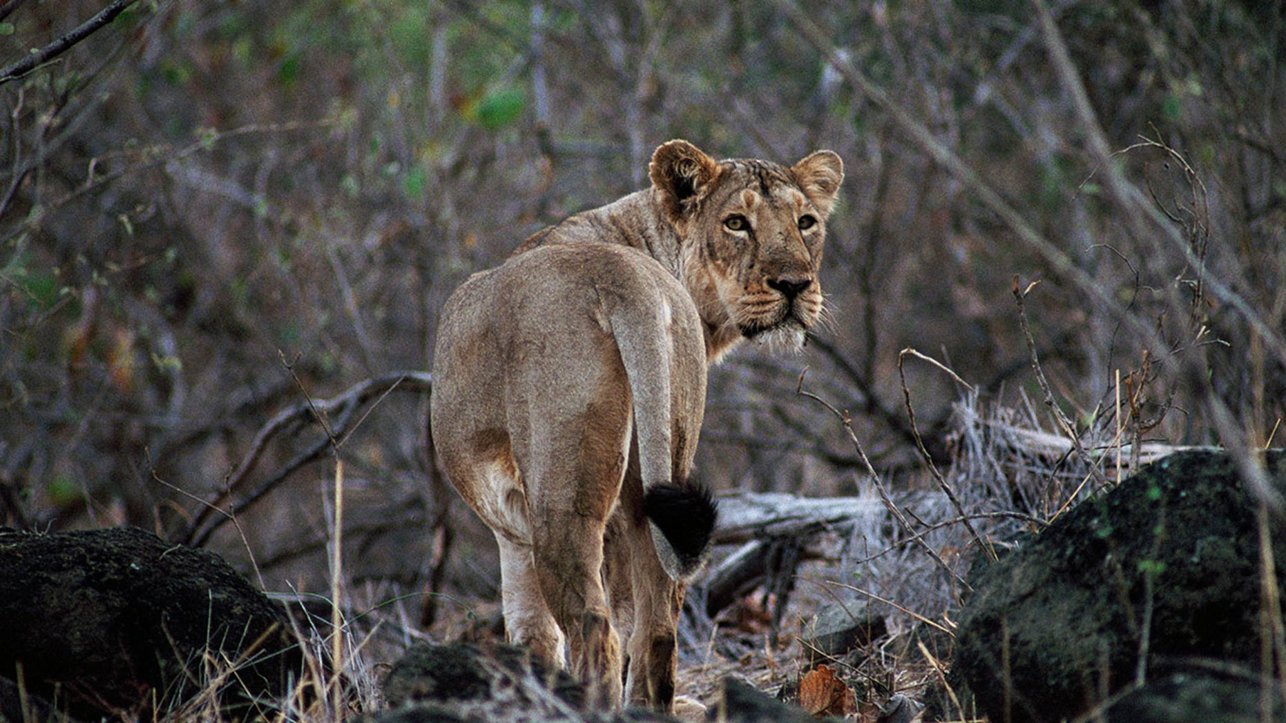 Asiatic lions that live in the sanctuary make the journey somewhat dangerous.