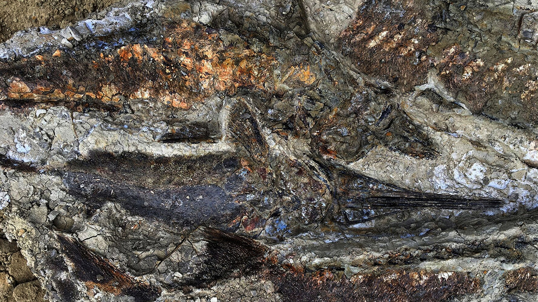 This handout photo obtained March 30, 2019 courtesy the University of Kansas shows a partially exposed, perfectly preserved 66-million-year-old fish fossil uncovered by Robert DePalma and his colleagues. -(Credit: ROBERT DEPALMA/AFP/Getty Images)