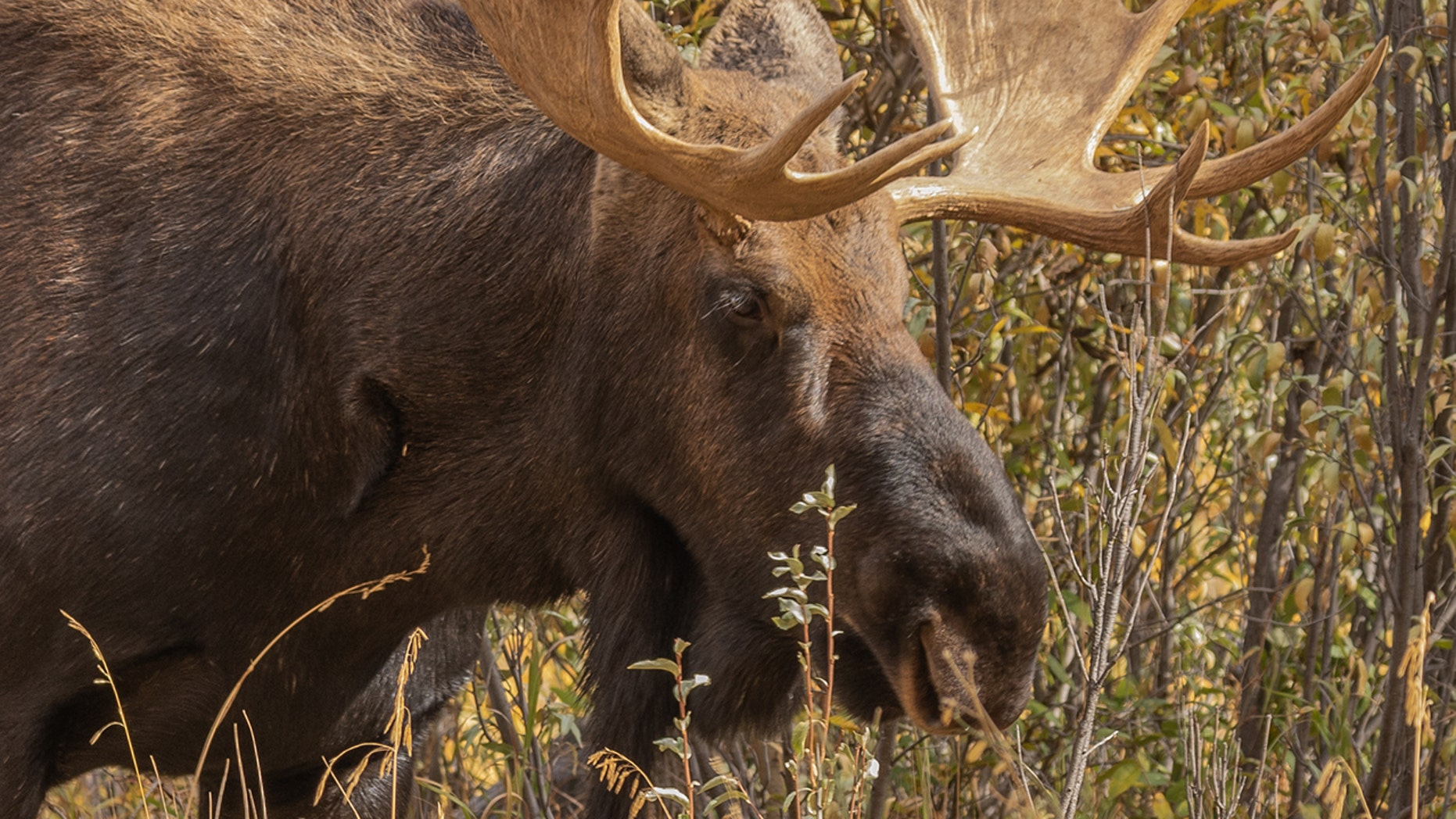 Jim Hall was hunting with a friend when they encountered the Shiras moose on the last valid days of Hall's months-long tag,