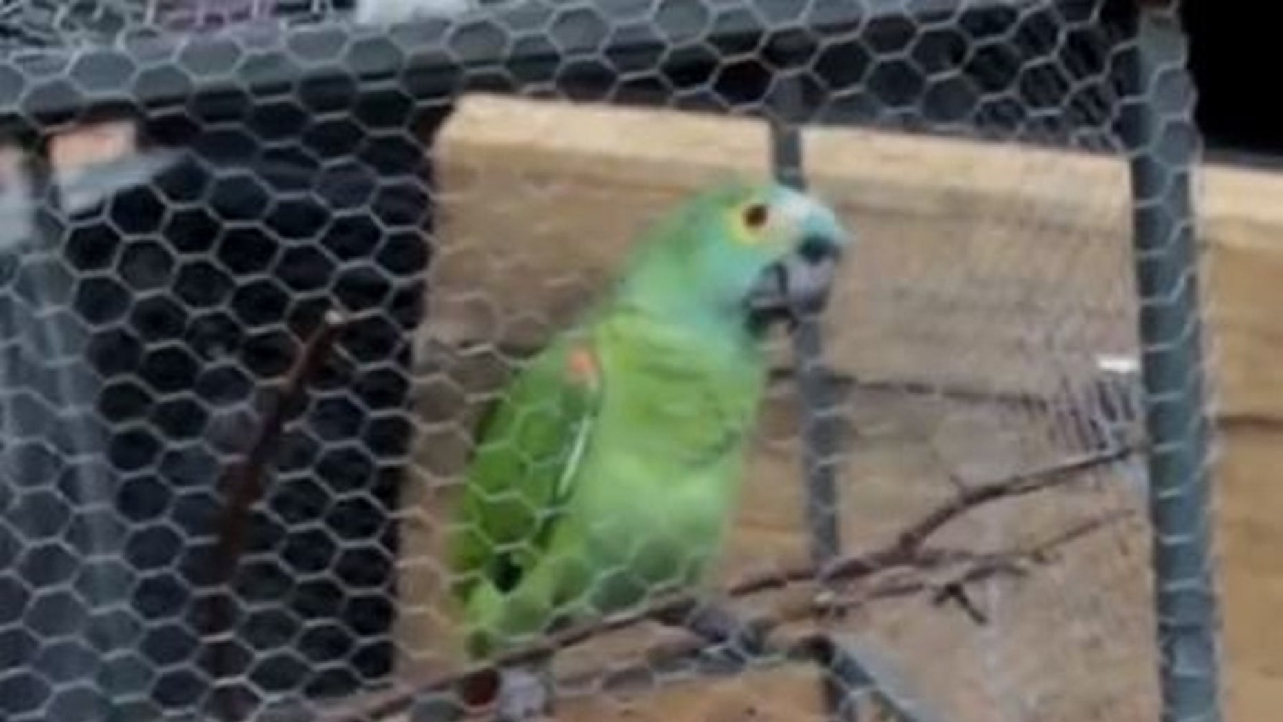 Police arrest a parrot after it alerted criminals of an incoming raid