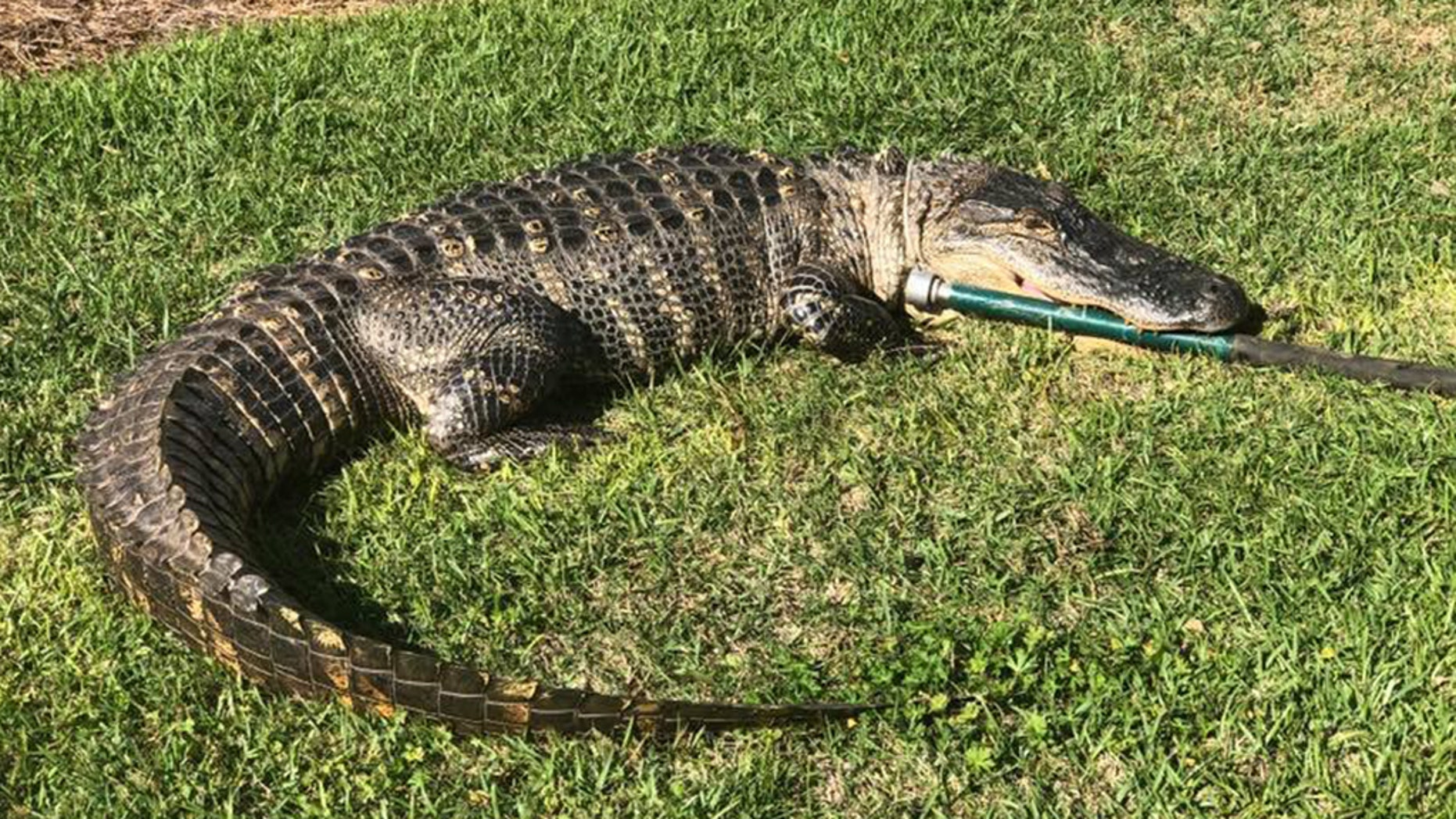 An 8-foot-long alligator was discovered strolling in a Florida neighborhood over the weekend, police said.