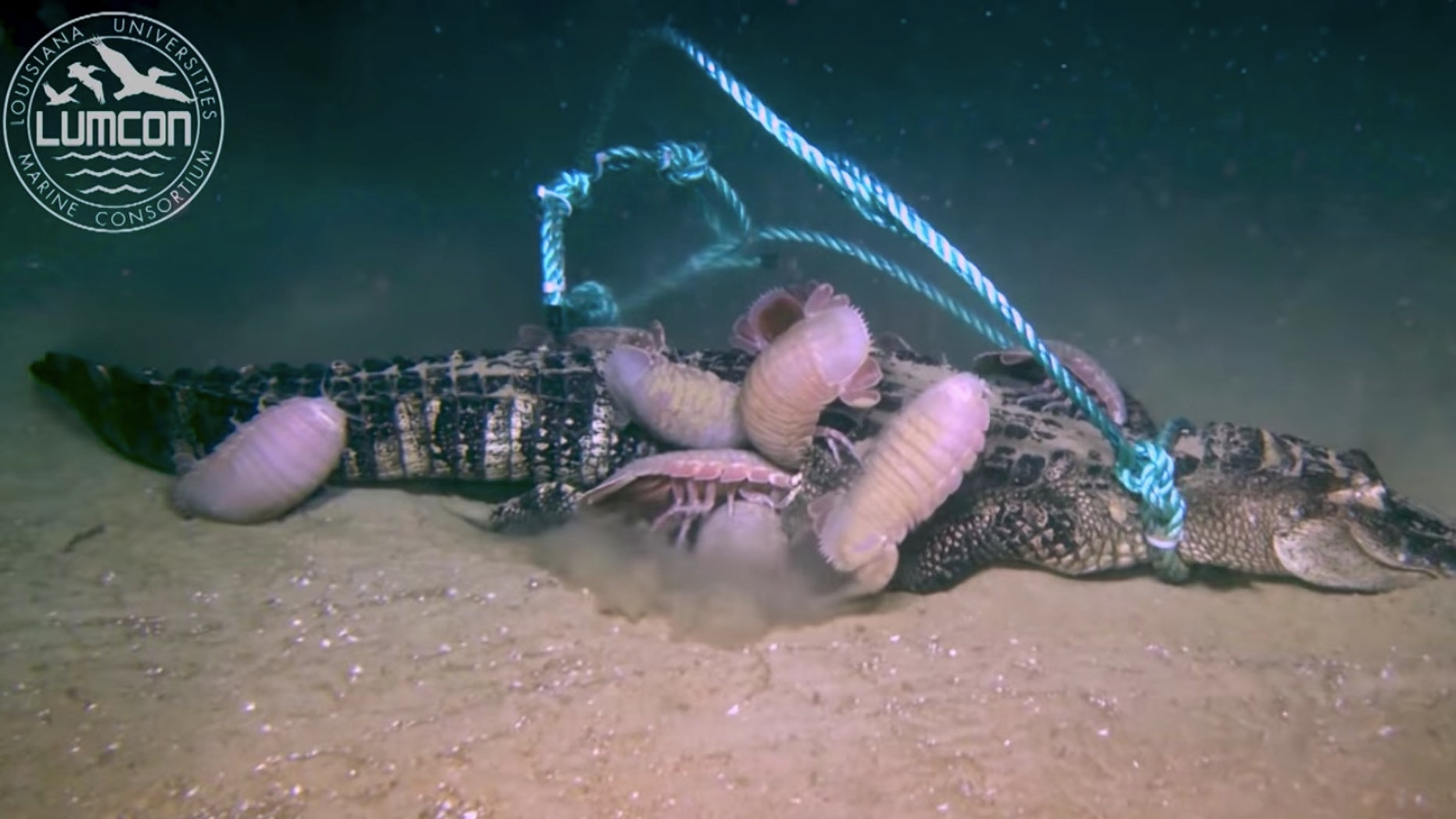 Westlake Legal Group alligator-giant-isopods Louisiana scientists drop dead alligator into sea, watch as it's devoured by giant 'pill bugs' Madeline Farber fox-news/us/us-regions/southeast/louisiana fox-news/science/wild-nature/reptiles fox-news/science/planet-earth/oceans fox-news/science fox news fnc/science fnc article 74e9134b-0410-571e-a74a-289c5433519b