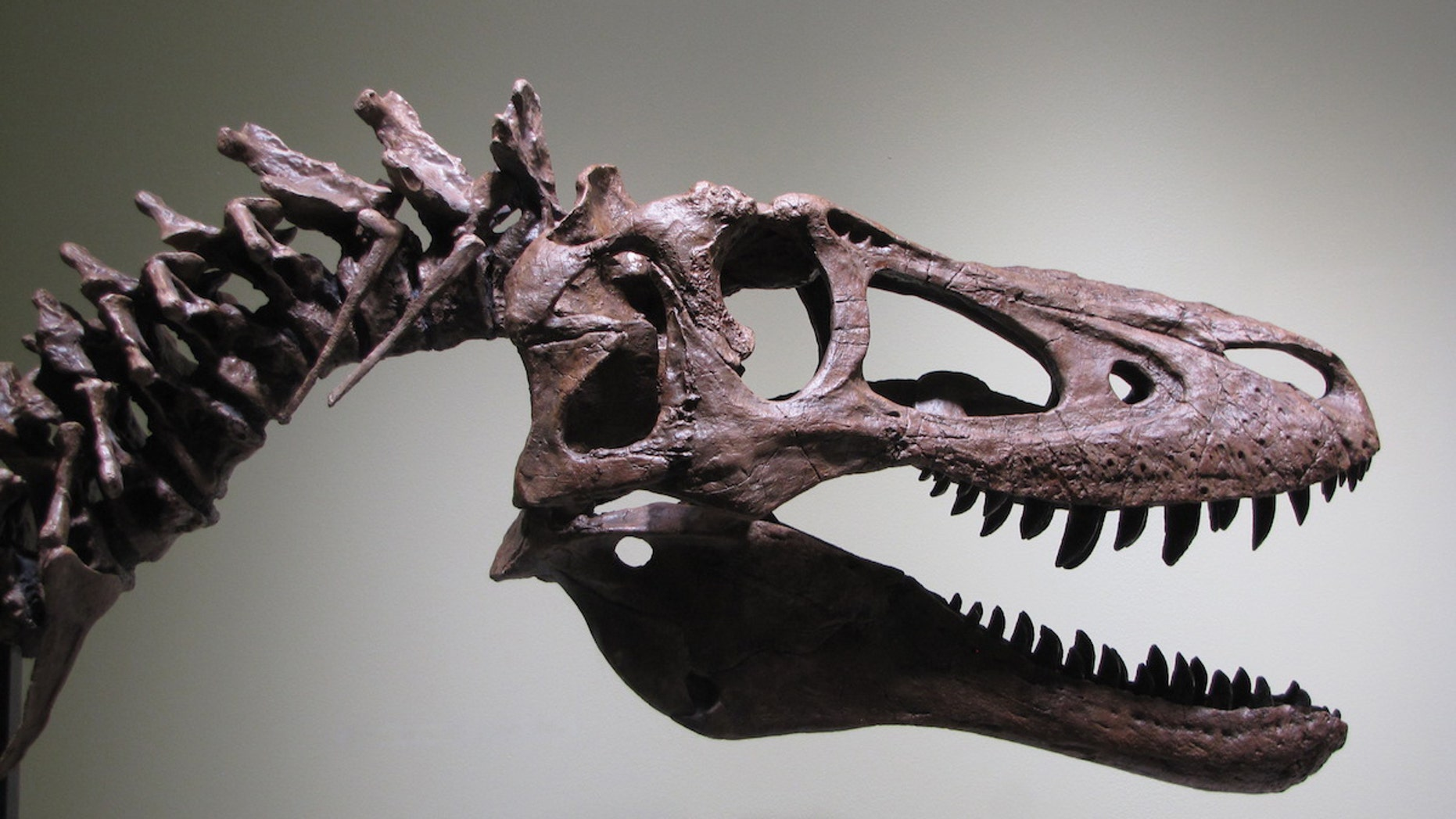 A reconstruction (that is, not the actual skeleton) of the baby <i>Tyrannosaurus rex</i> that is now for sale on eBay.