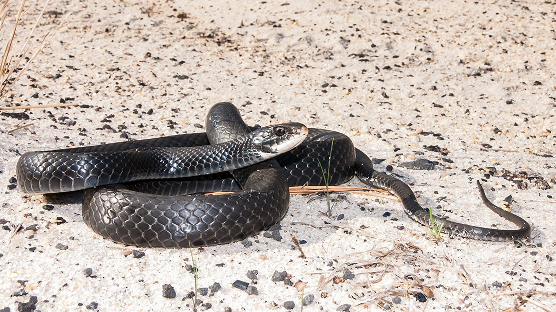 A close up of a Southern Black Racer coiled up on a dirt road in Florida. (iStock)