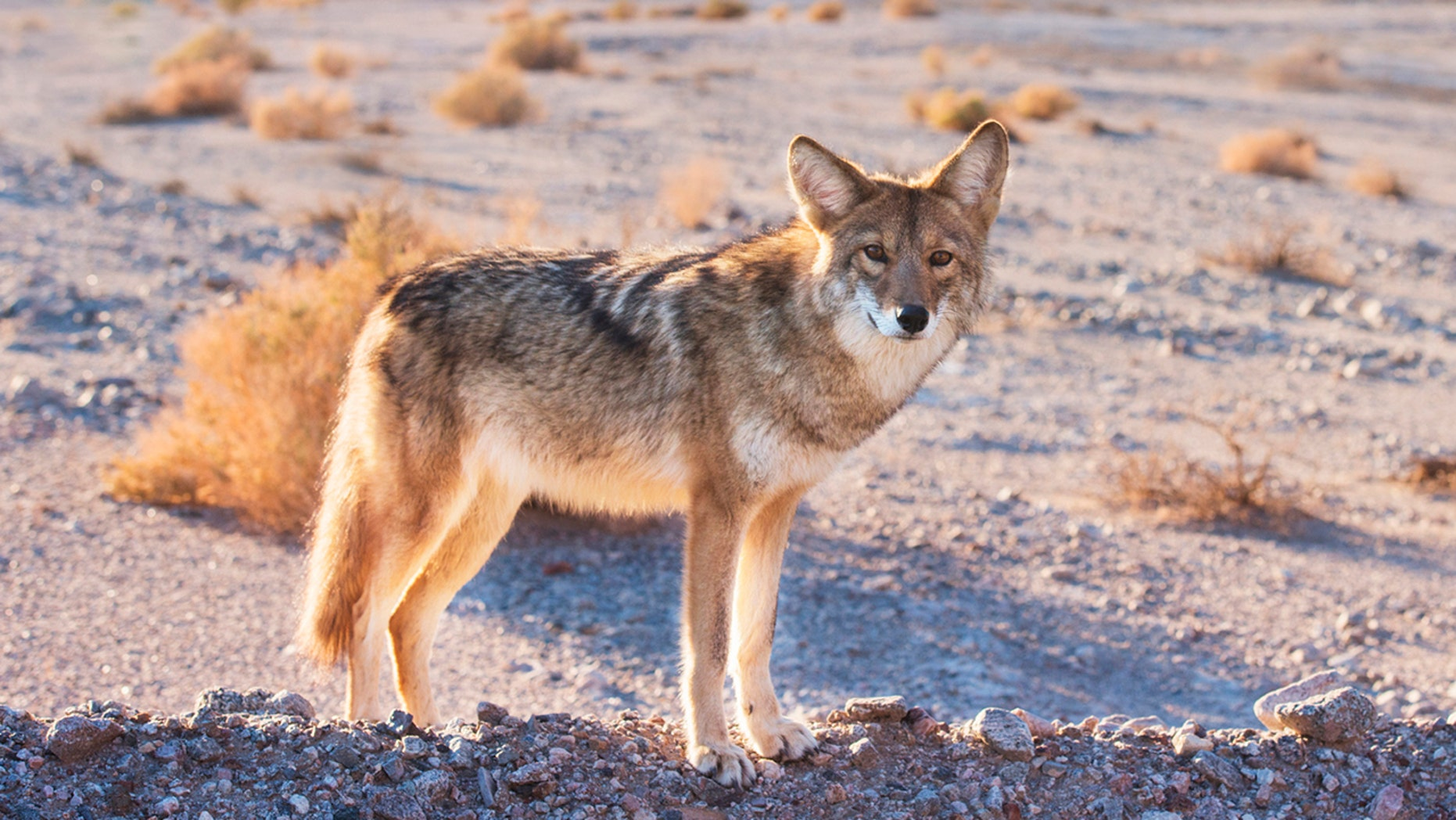 The coyote later tested positive for rabies, officials said.